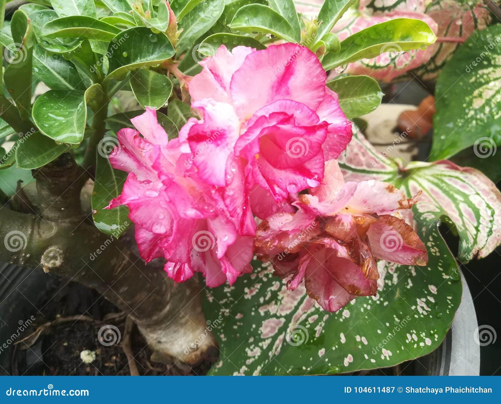 Trees bloom lotus beautyful in the garden stock image image of download comp izmirmasajfo