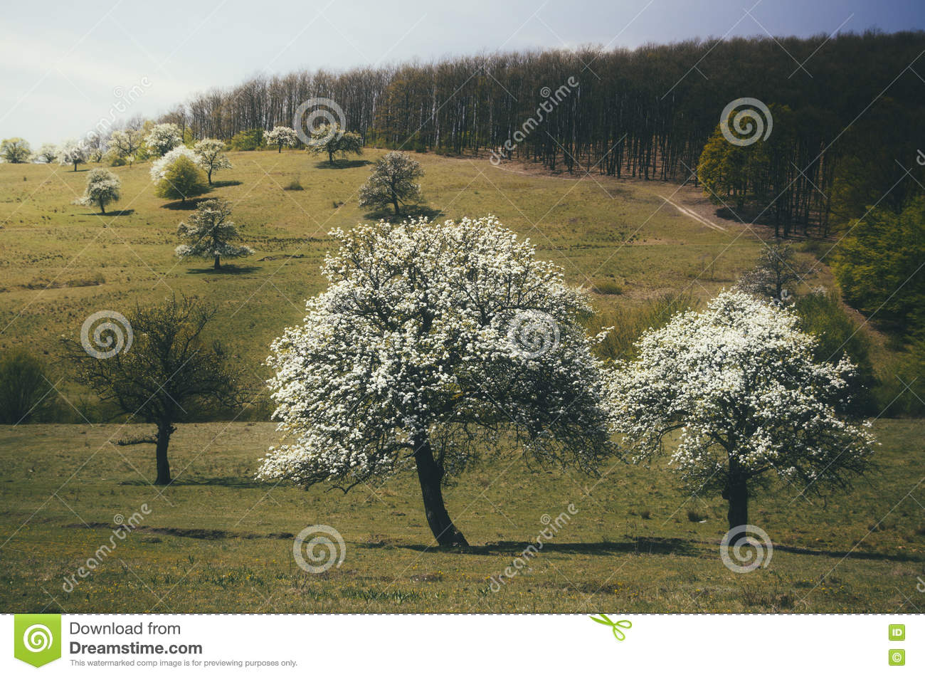 Trees in bloom with white flowers in spring