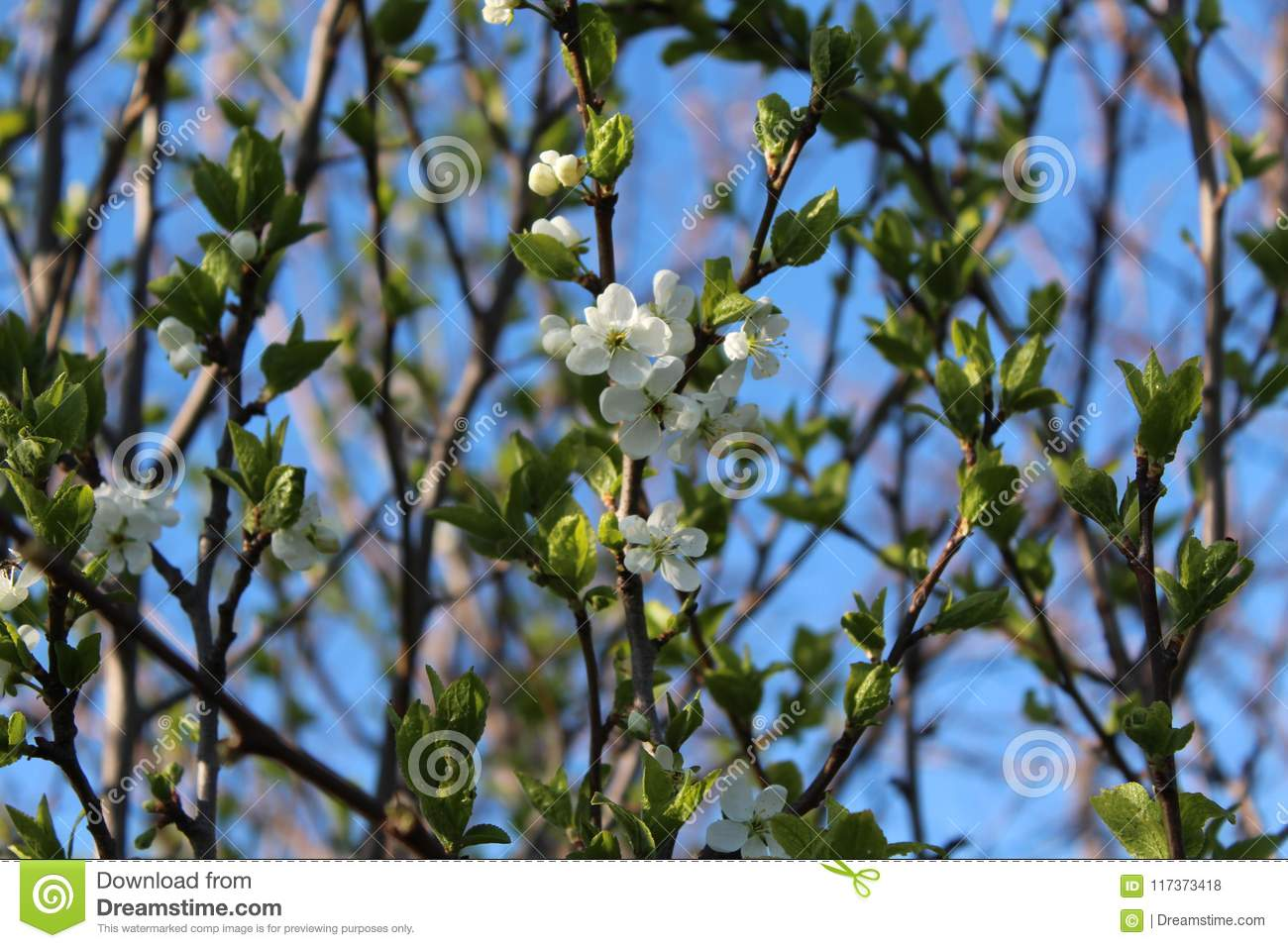 The trees blossomed white flowers spring came spring mood the the trees blossomed white flowers spring came spring mood the first leaves mightylinksfo