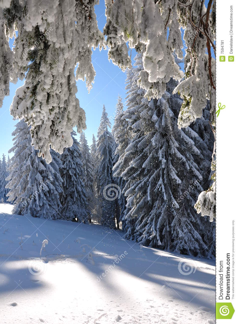 Snow covered forests of fir trees in mid winter above it there s a