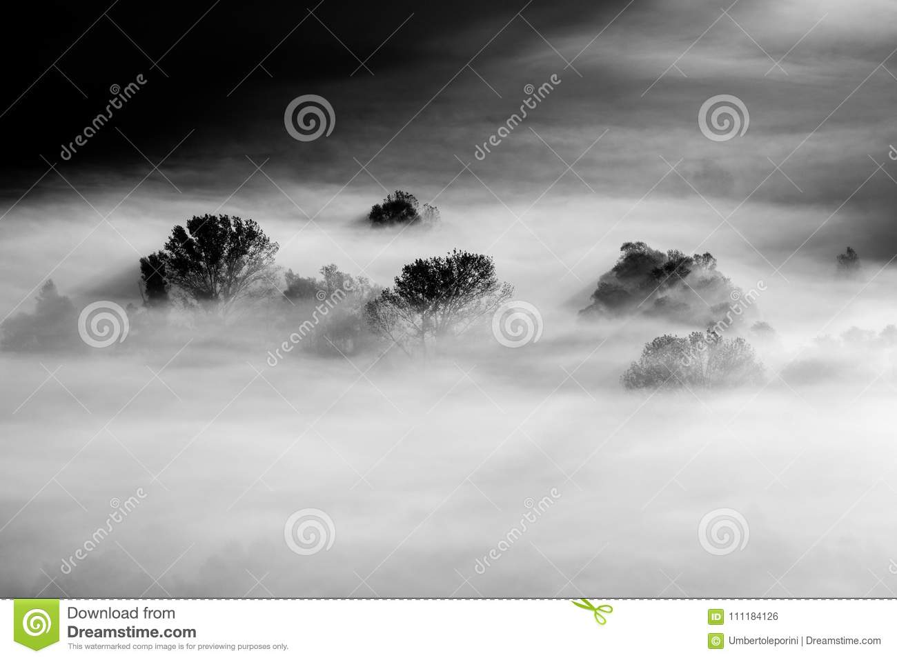 Trees in the fog black and white photo
