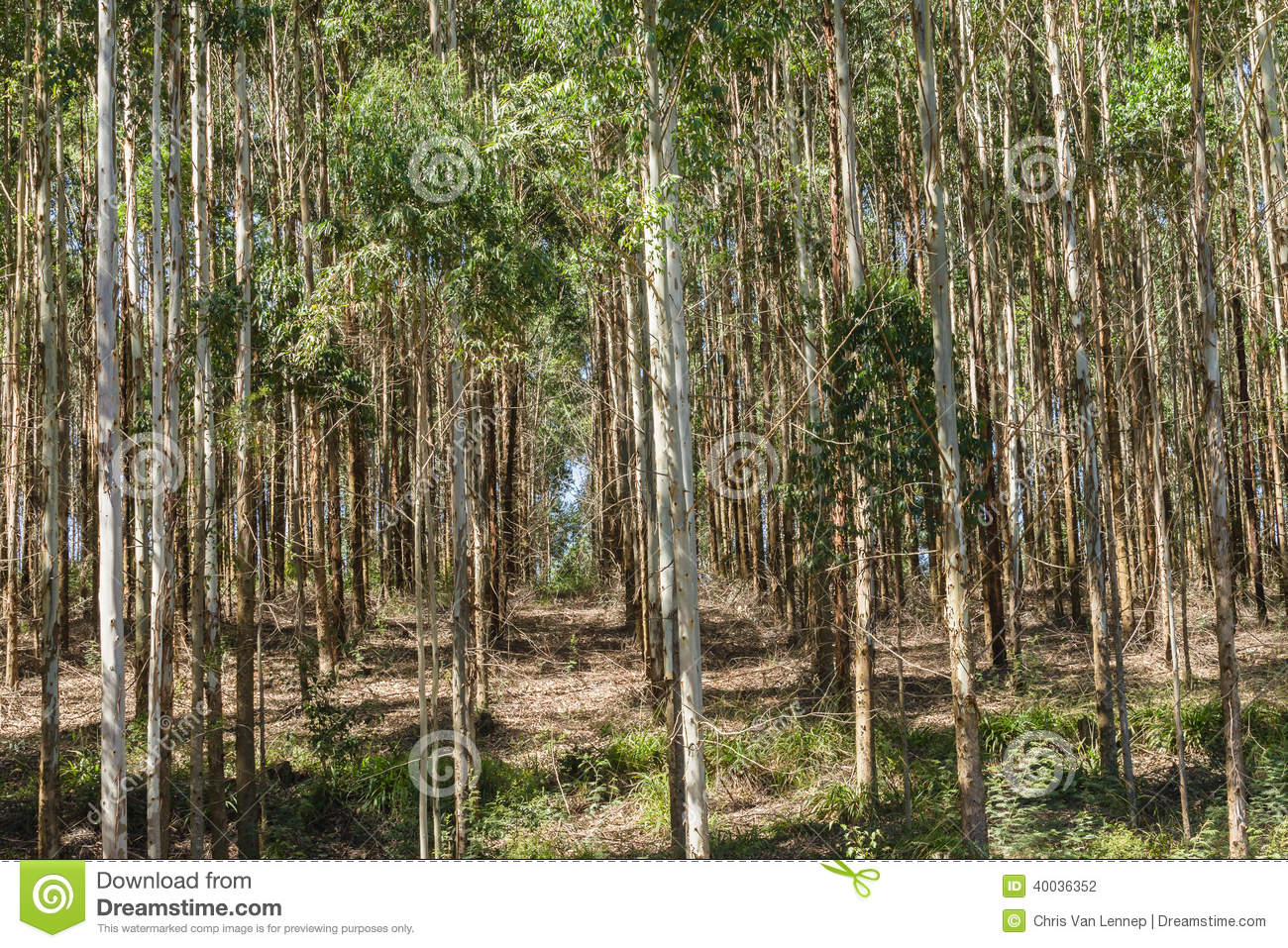 Trees Forest Plantation Stock Photo Image 40036352