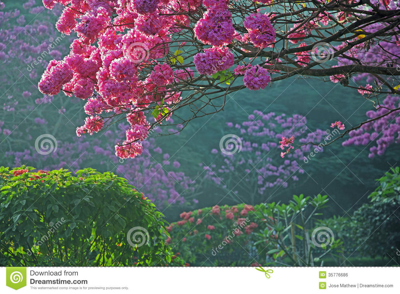 Trees In Full Bloom With Pink Flowers Royalty Free Stock