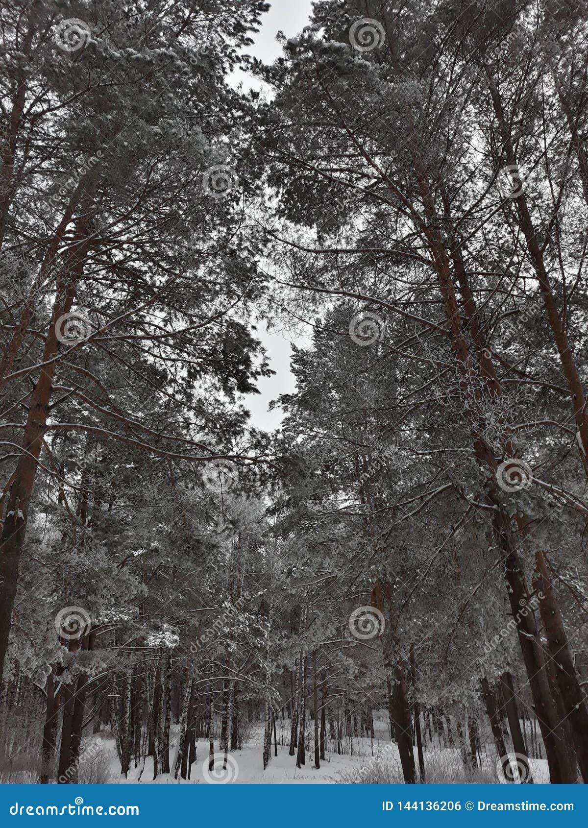 Trees i vinterskogen