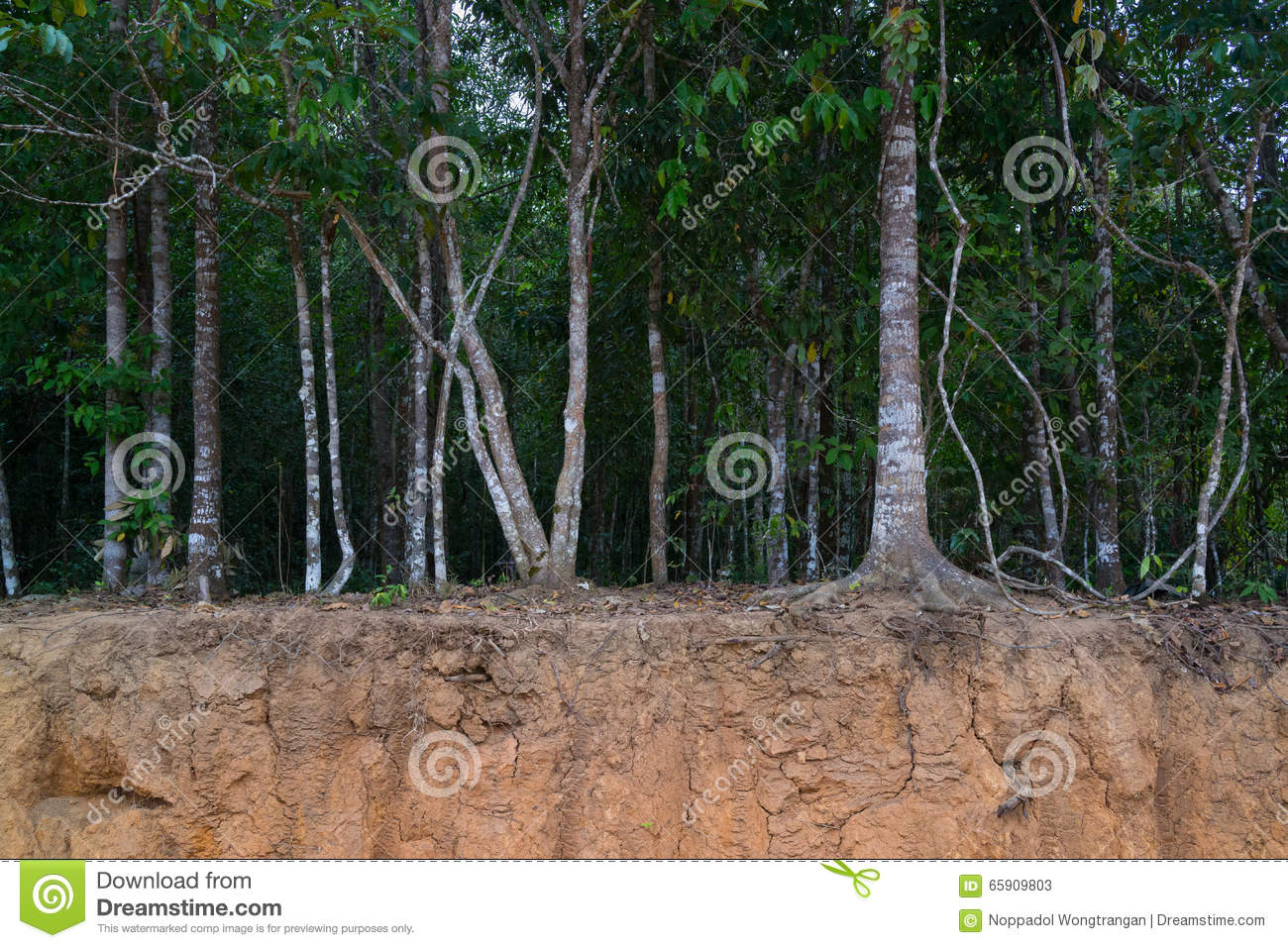 Trees on small cliff showing their roots