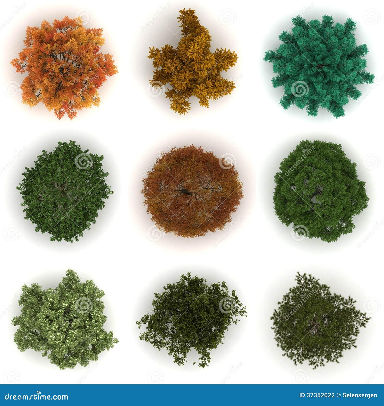 Oak quercus petraea stock photos image: 9784463
