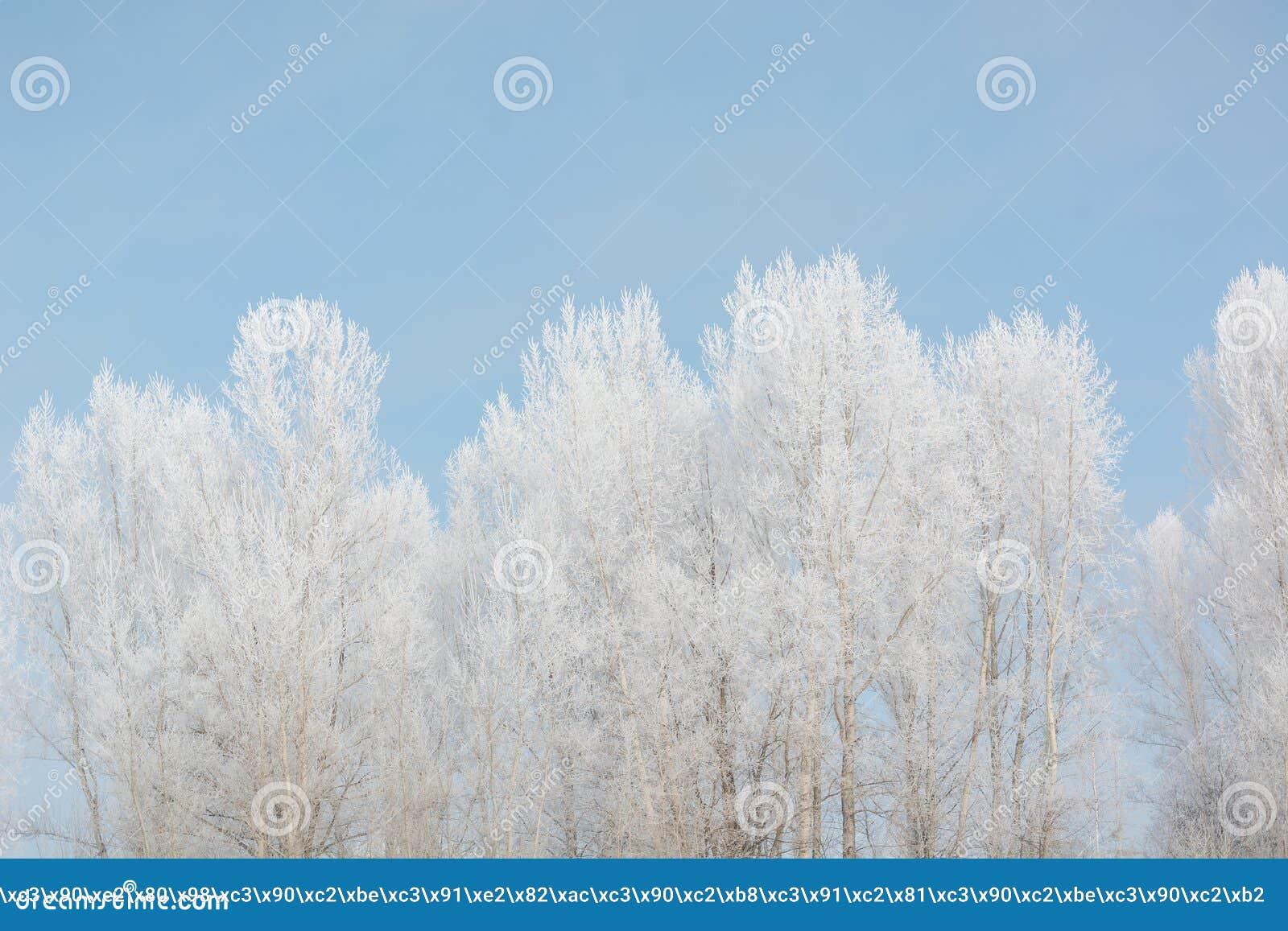 Trees in winter in winter. Beautiful winter landscape. Frost on trees in winter.