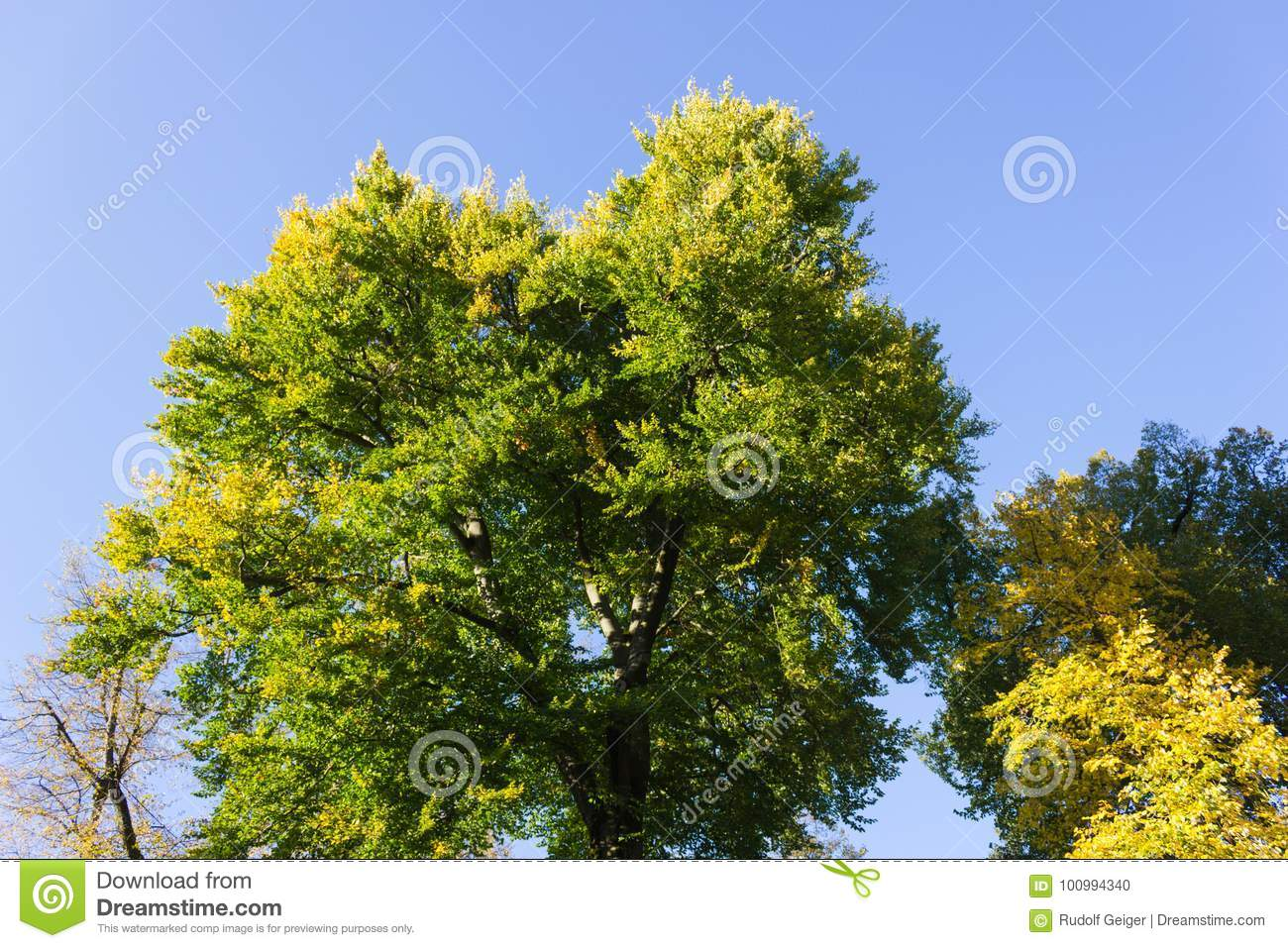 Trees With Yellow Color Of Fall On A Sunny Day In October At Sou ...
