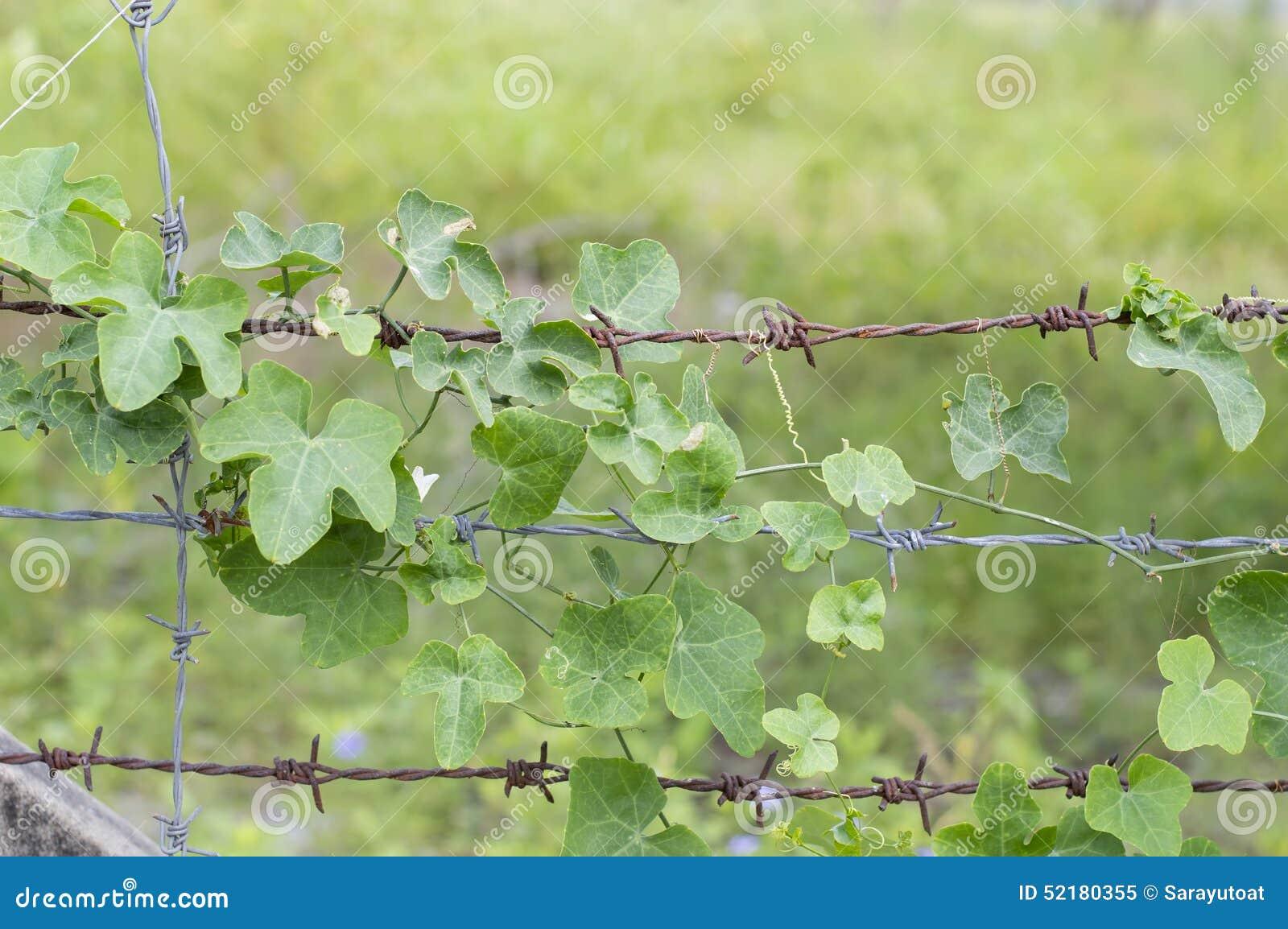 Treetop Gourd ivy leaf on barbed wir