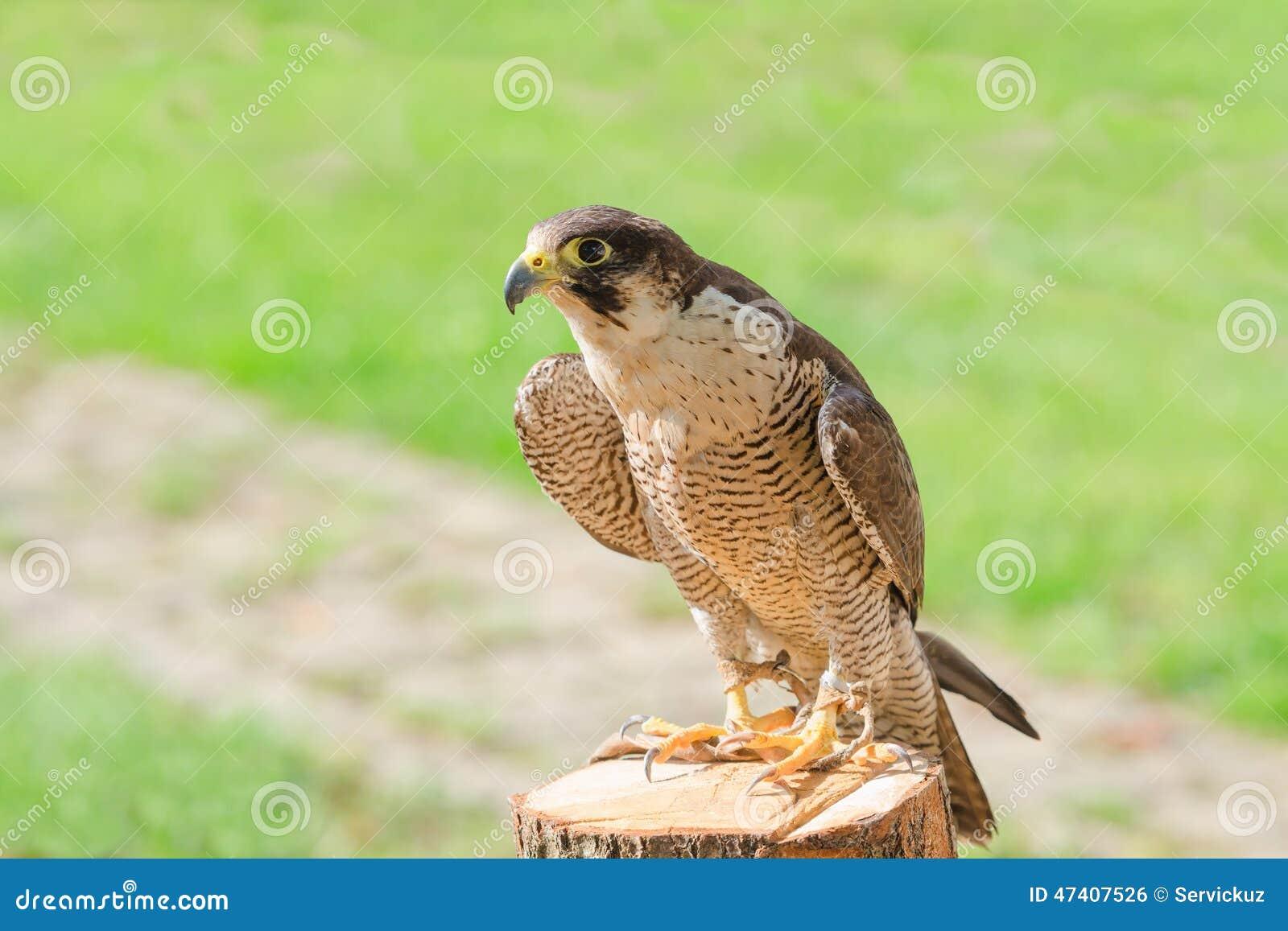 treinado domesticado para o falcão ou o falcão do pássaro da ave de