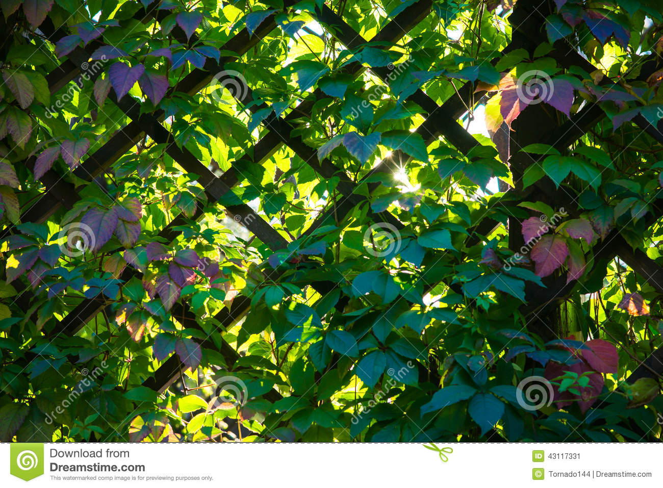 Trellis Work And Green Leaves Of Virginia Creeper Stock