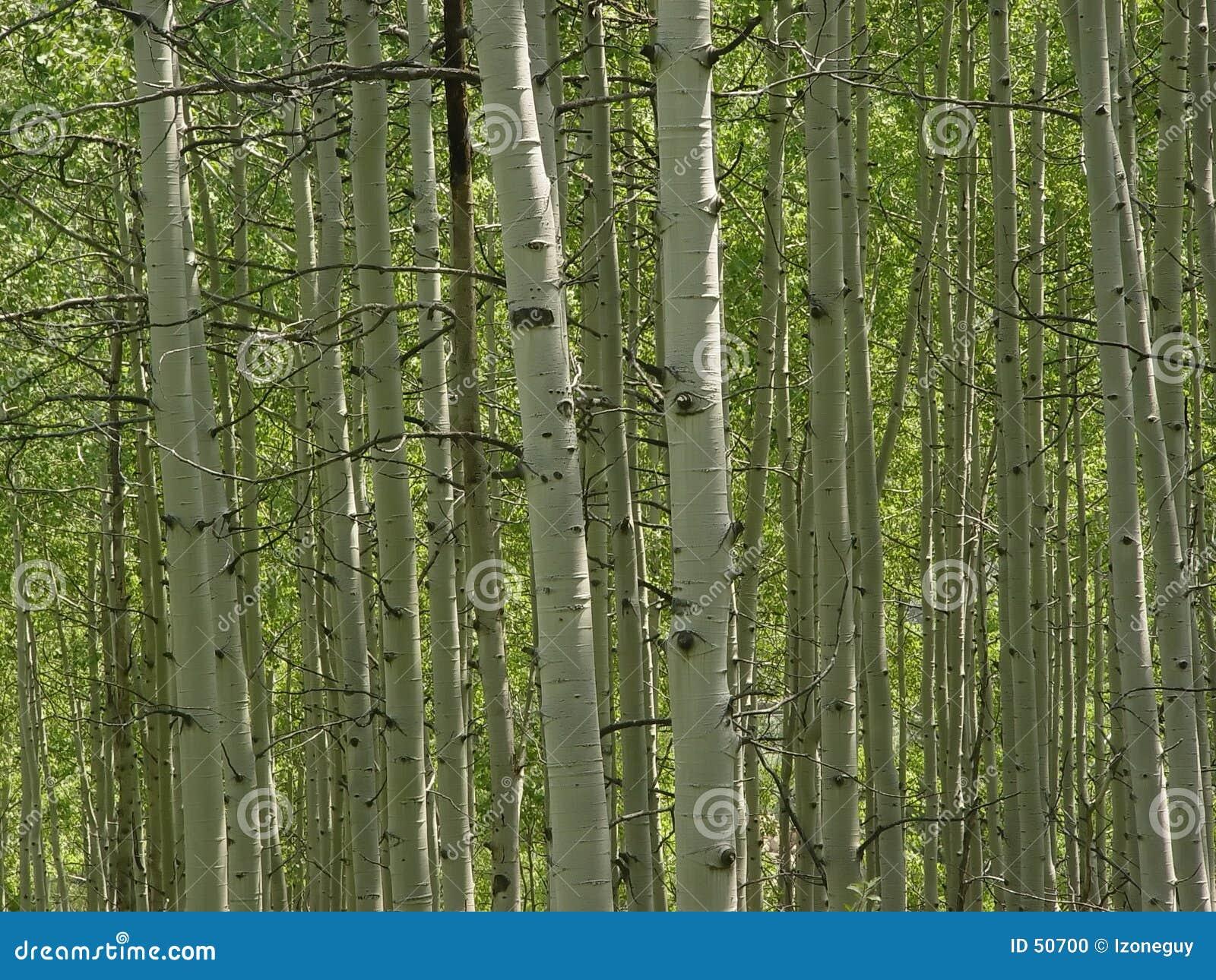 Download Trembles photo stock. Image du arbre, trembles, rocheuses - 50700