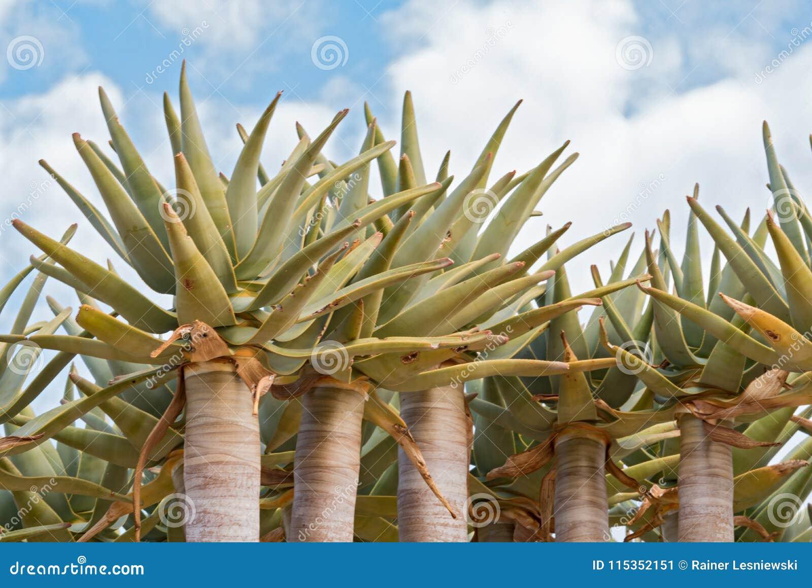 Tremblez l arbre ou le dichotoma d aloès de Kokerboom contre un ciel nuageux, Namibie