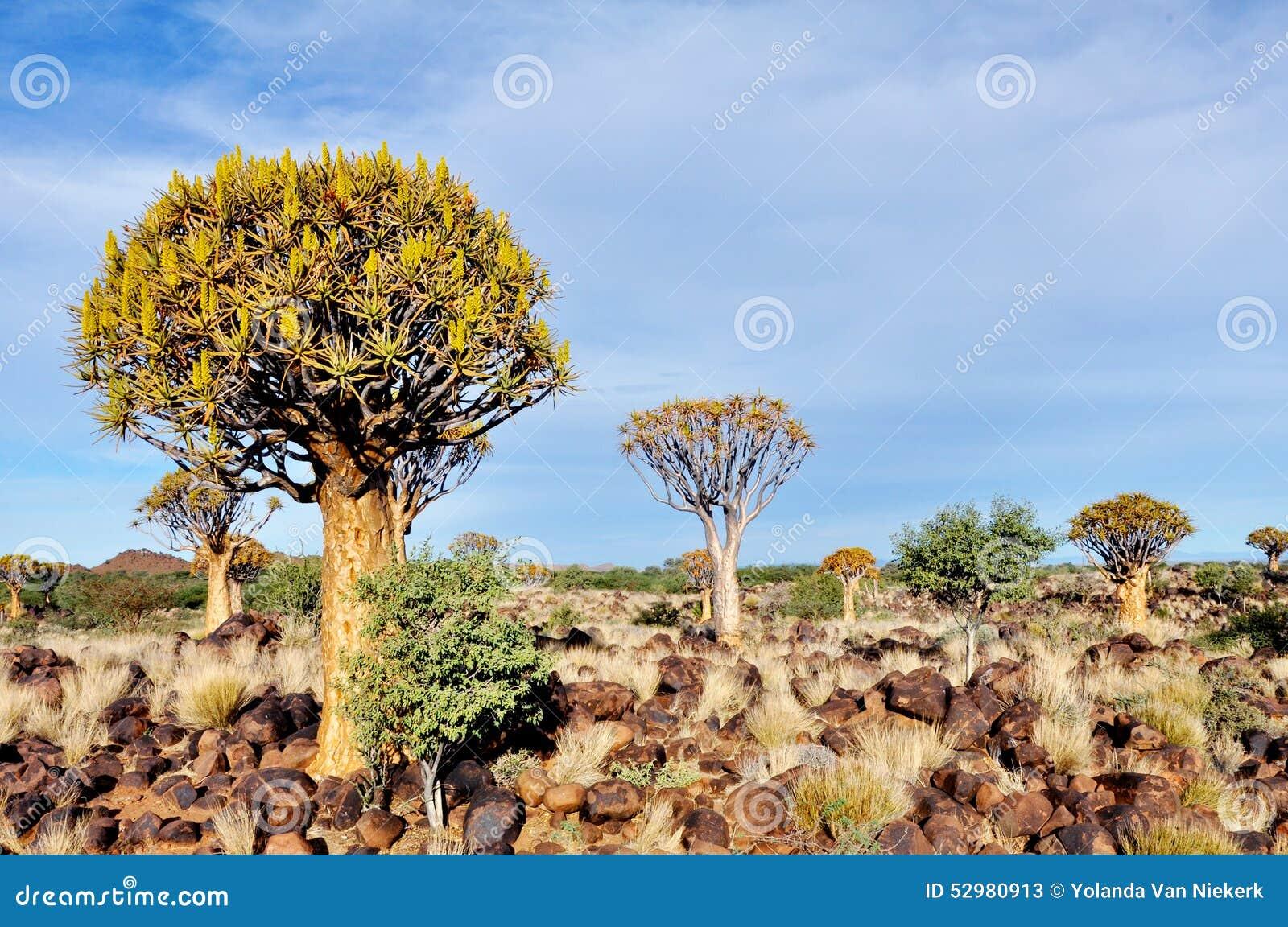 Tremer a floresta da árvore, fim da tarde, perto de Keetmanshoop, Namíbia