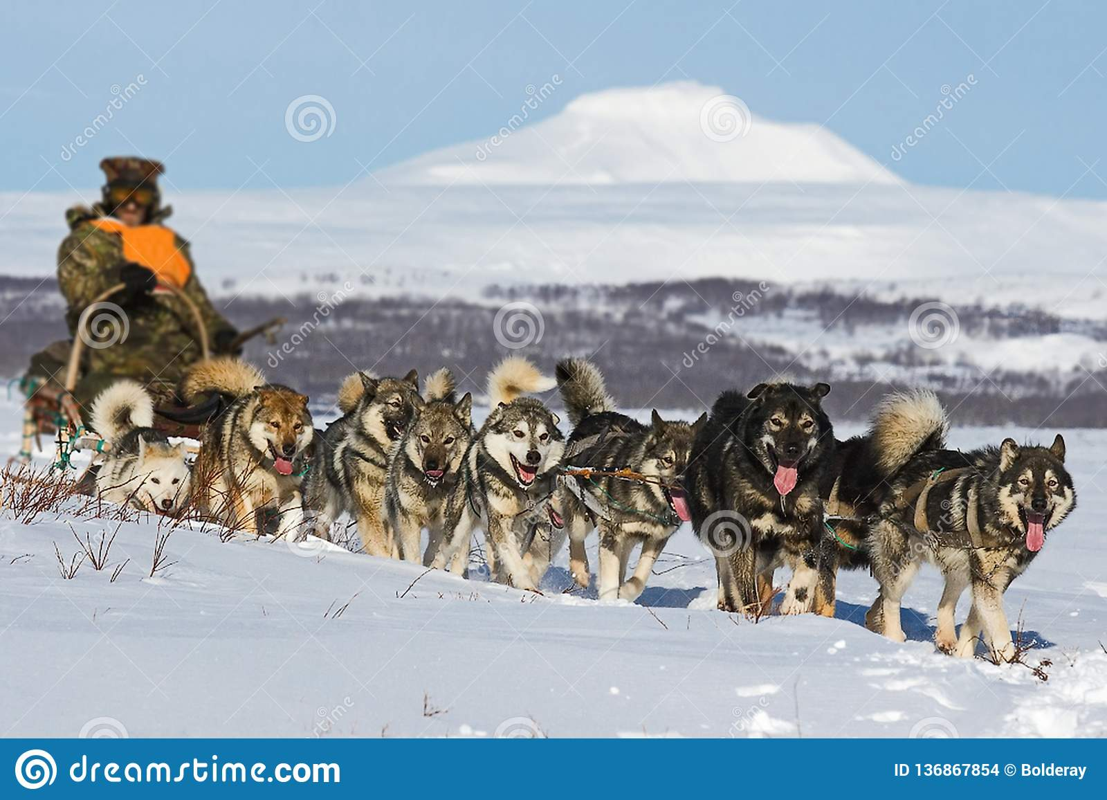 Trenó do cão O Malamute do Alasca é bastante um grande tipo aborígene cão, projetado trabalhar em uma equipe, uma das raças as ma