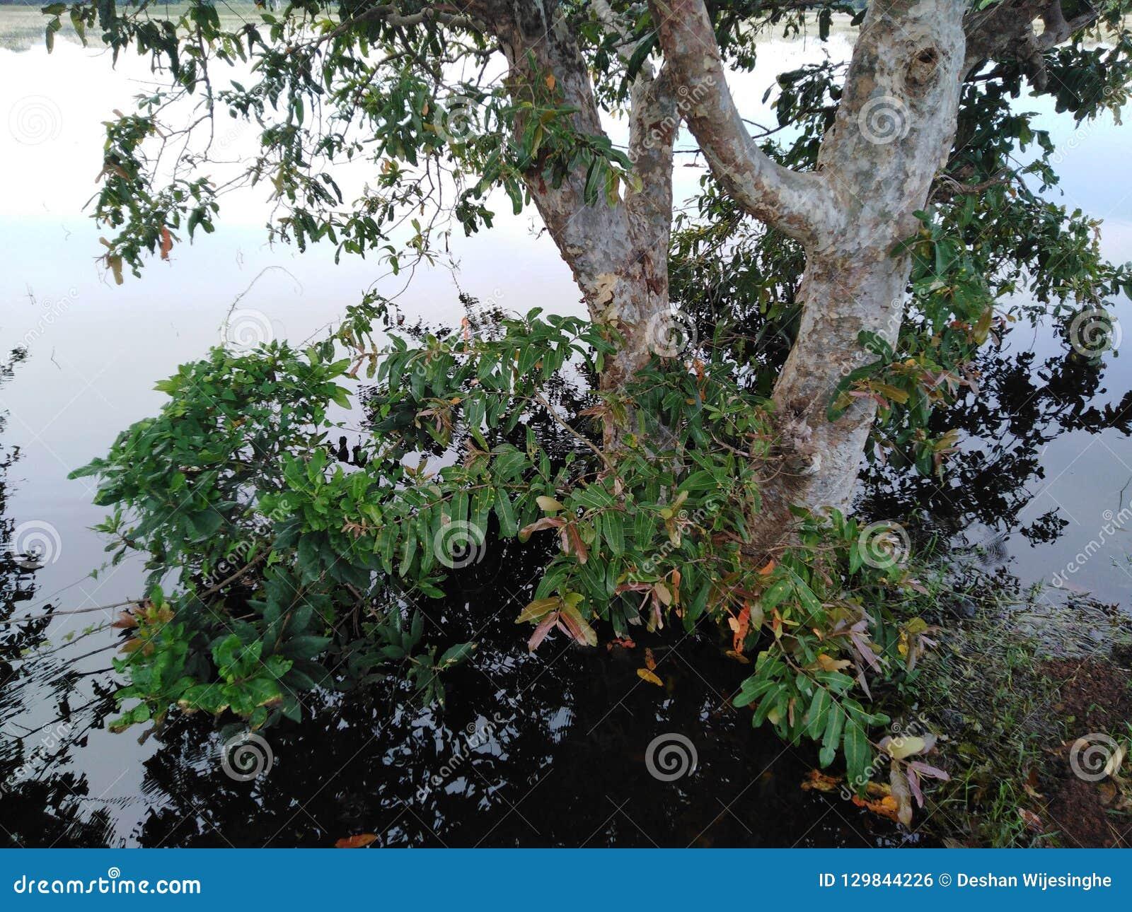 Trenza sumergida en el agua de la oscuridad del agua, árbol rodeado por el agua