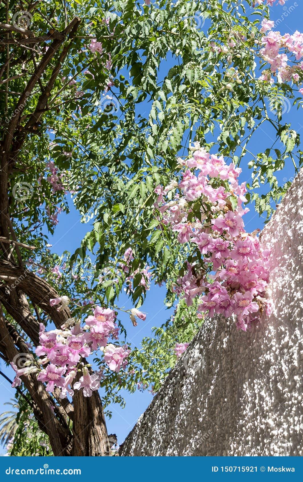 Trepadeira de Podranea Ricasoliana Zimbabwe, videira de trombeta cor-de-rosa, trepadeira portuária de St Johns, rainha de Sheba