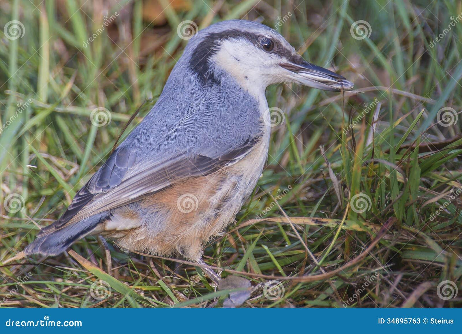 Trepatroncos eurasiático, (europaea del sitta) en la tierra