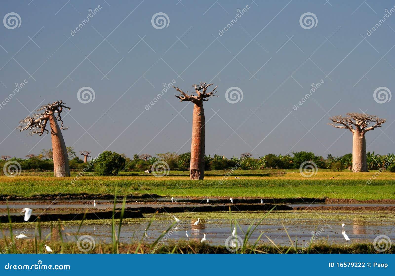 Tres baobabs