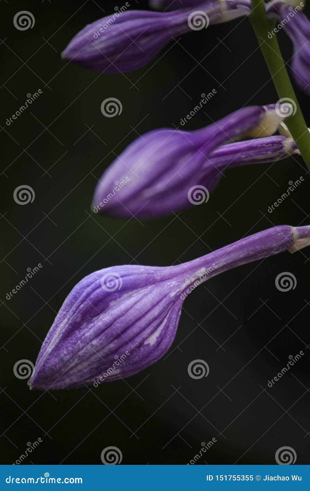 Tres brotes púrpuras, material de la flor