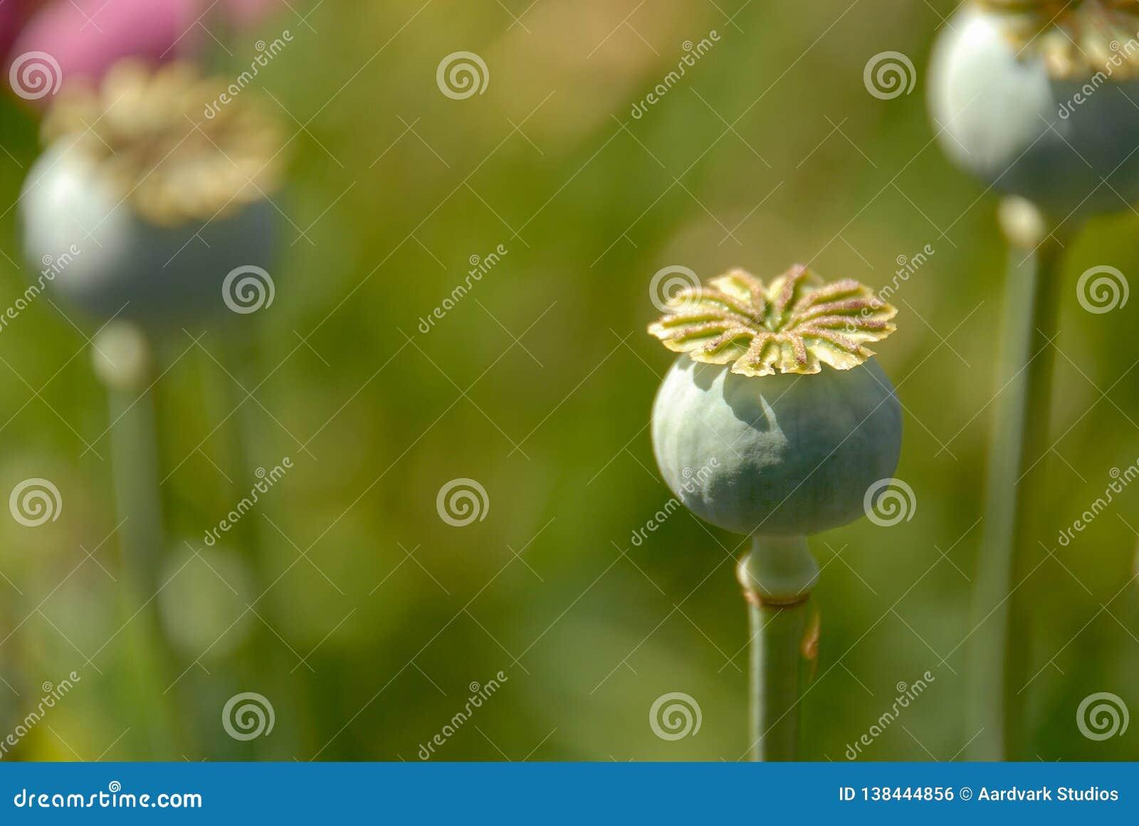 Tres bulbos de planta de la amapola