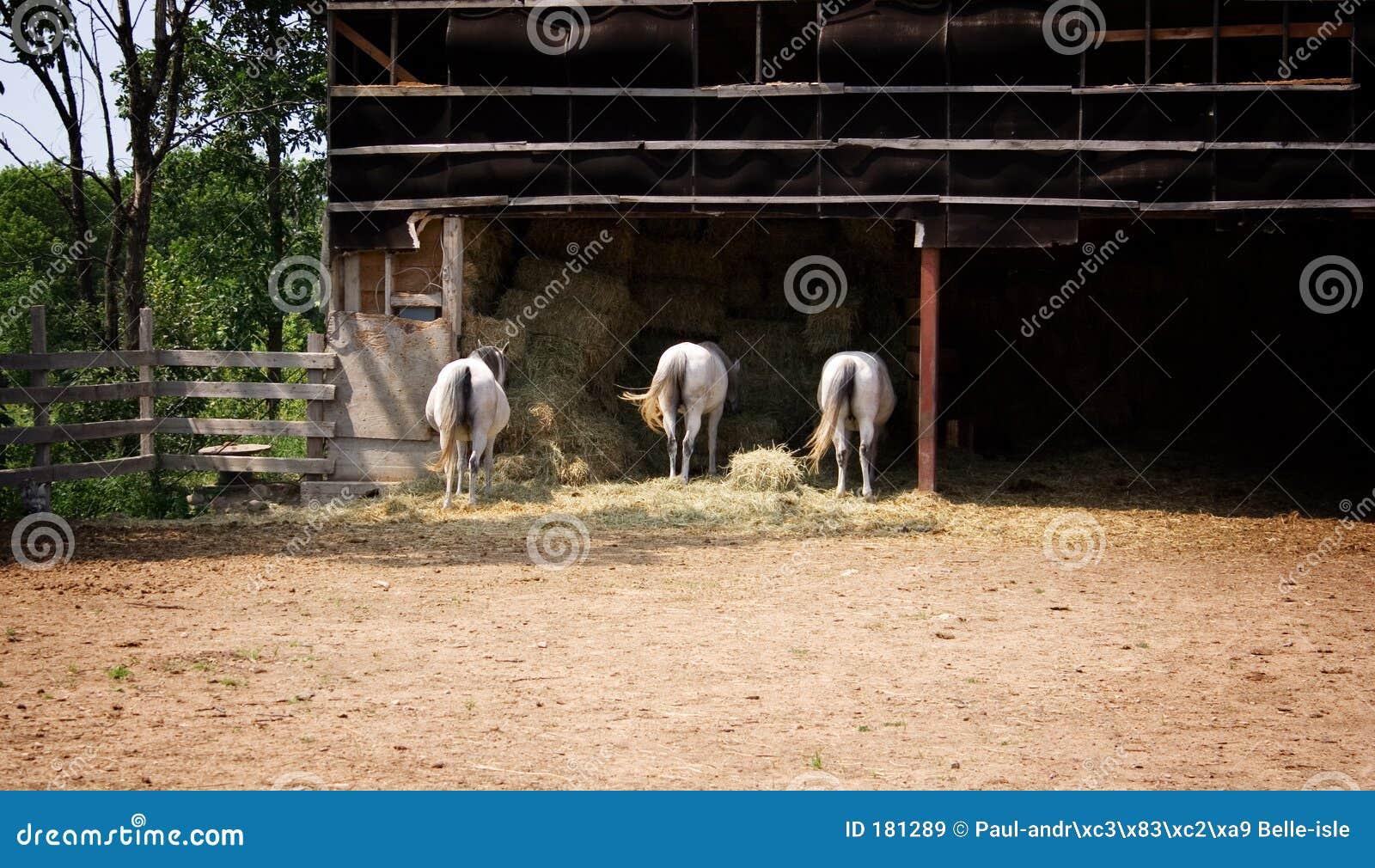 Tres caballos en una granja
