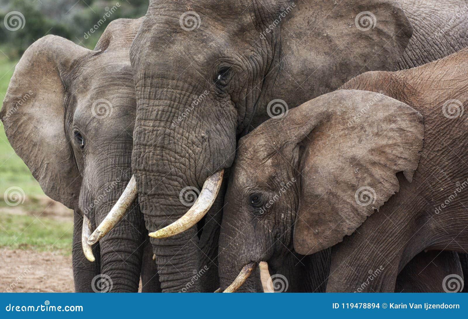 Tres cabezas de los elefantes cierran juntas el tacto