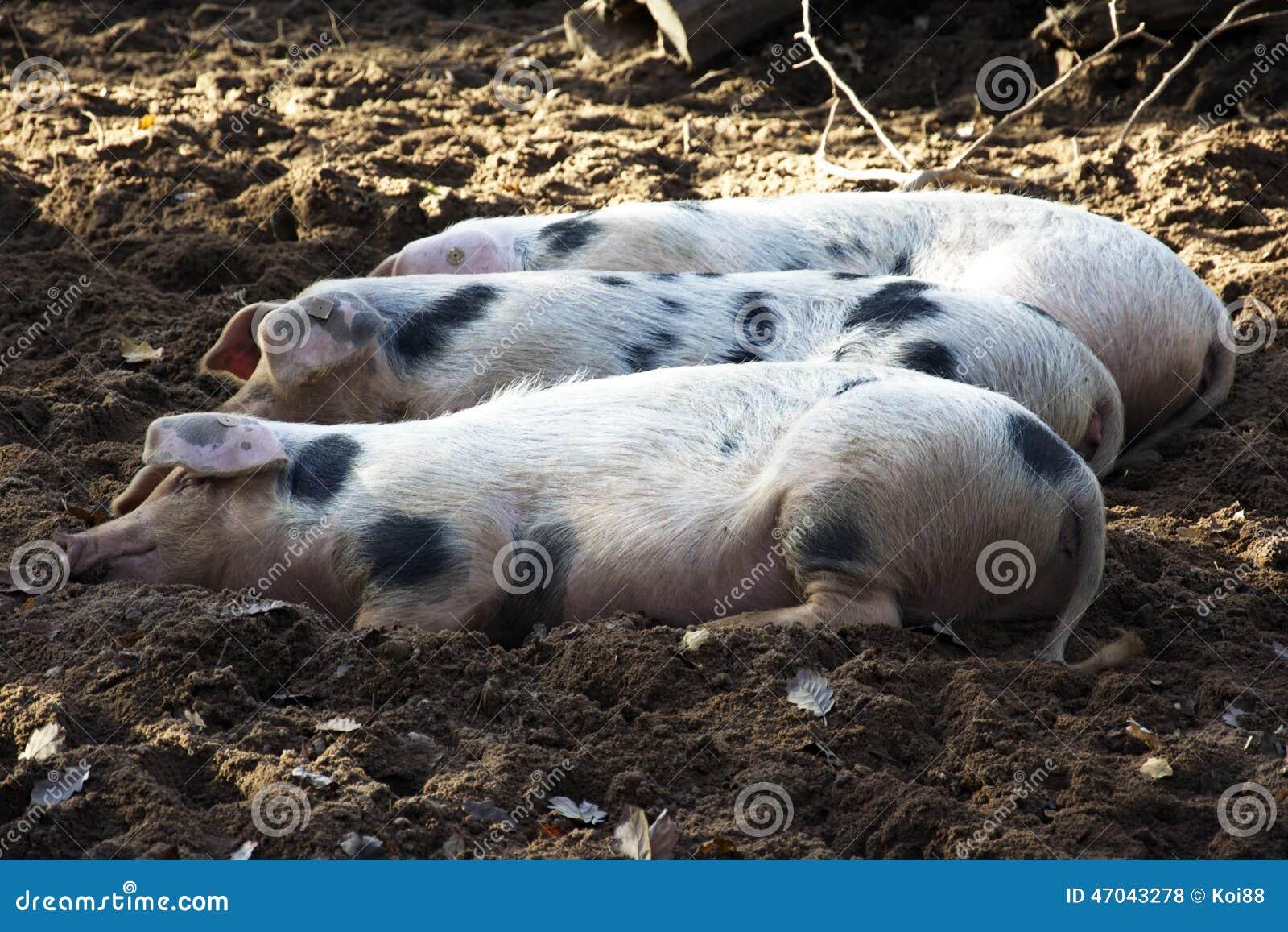Tres cerdos felices foto de archivo. Imagen de relaje - 47043278