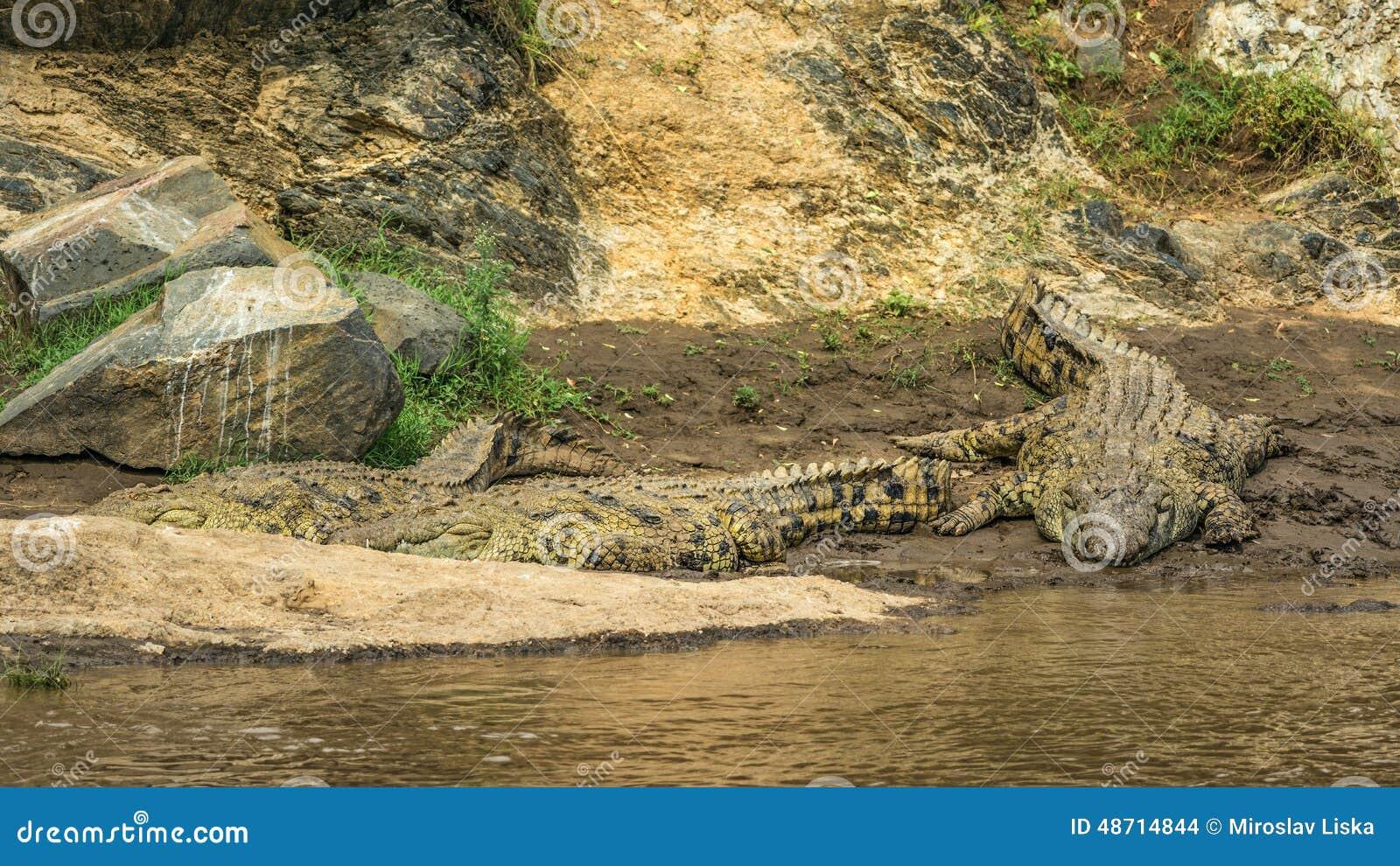 Tres cocodrilos del Nilo en los bancos del río de Mara, Kenia