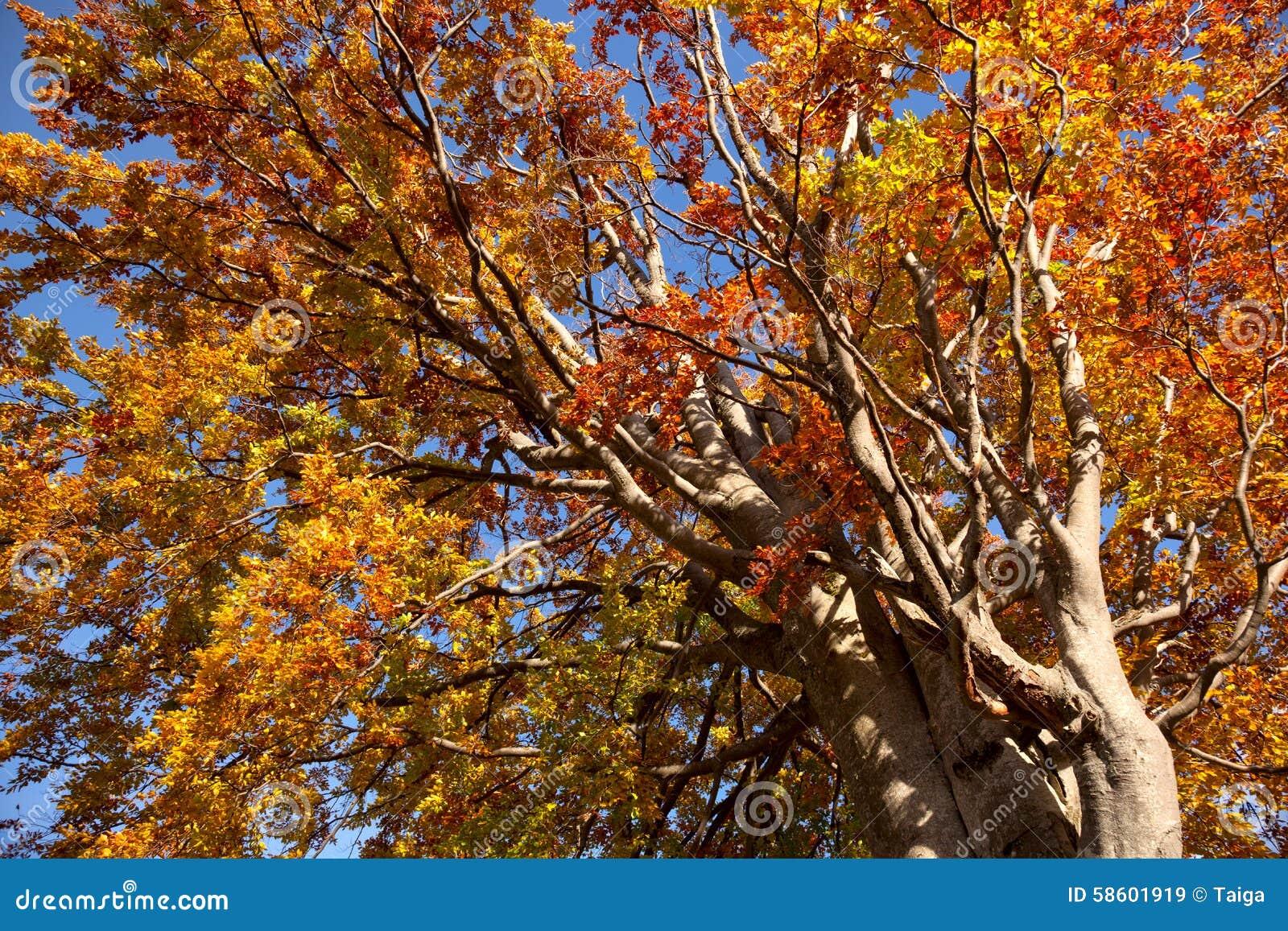 Tres coloridos viejos grandes en los colores del otoño, temporada de otoño hermosa
