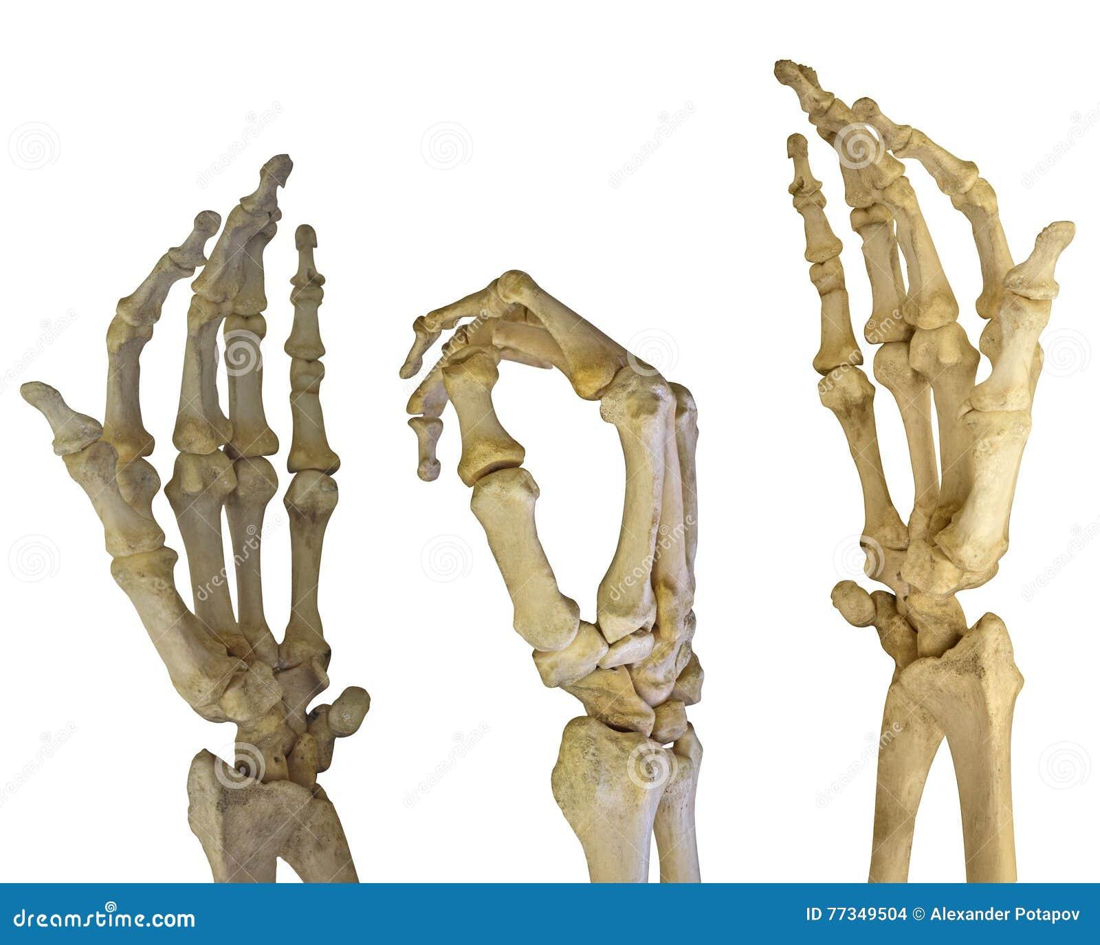 Tres Esqueletos Humanos De Las Manos En Blanco Foto de archivo ...
