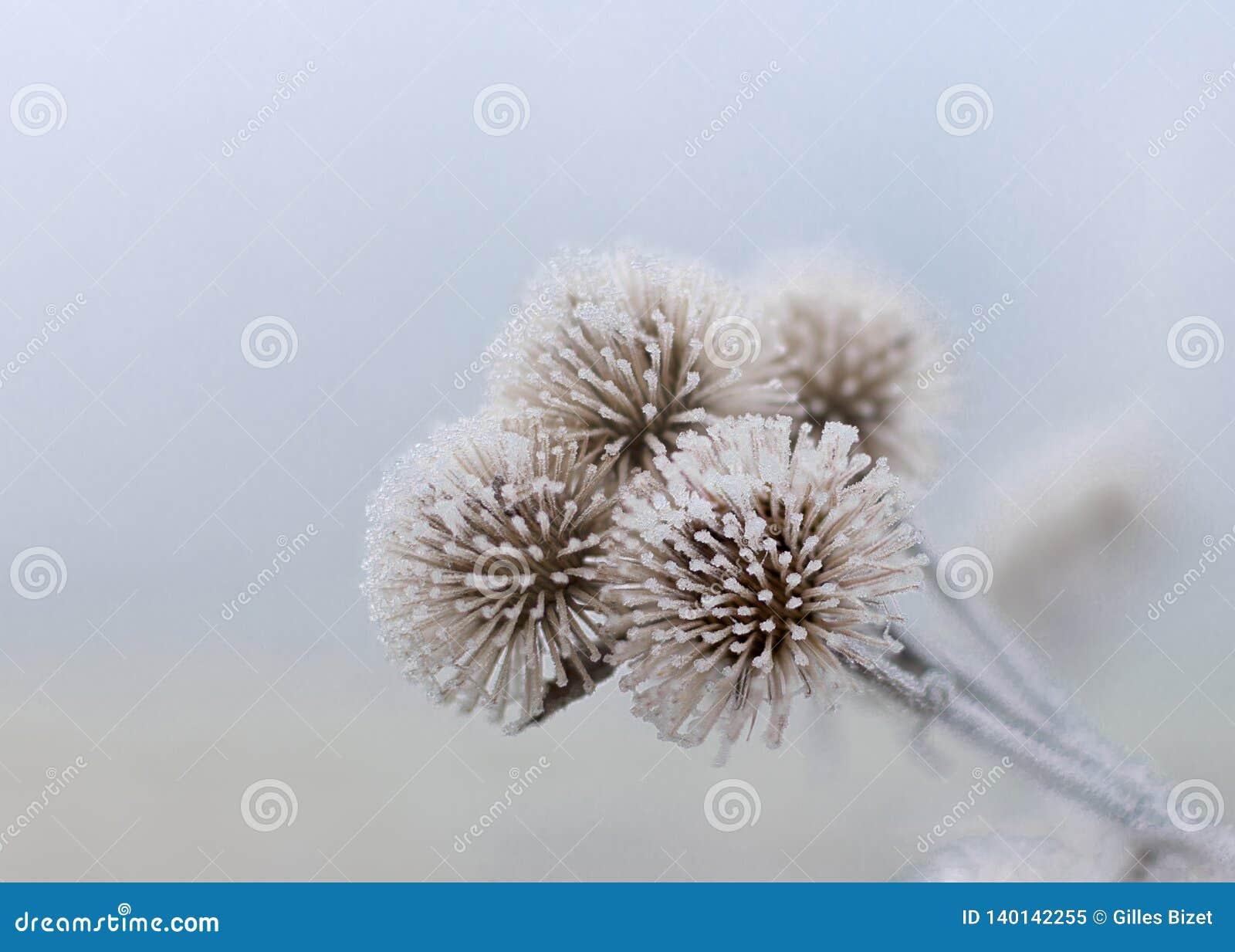 Tres flores congeladas de enero