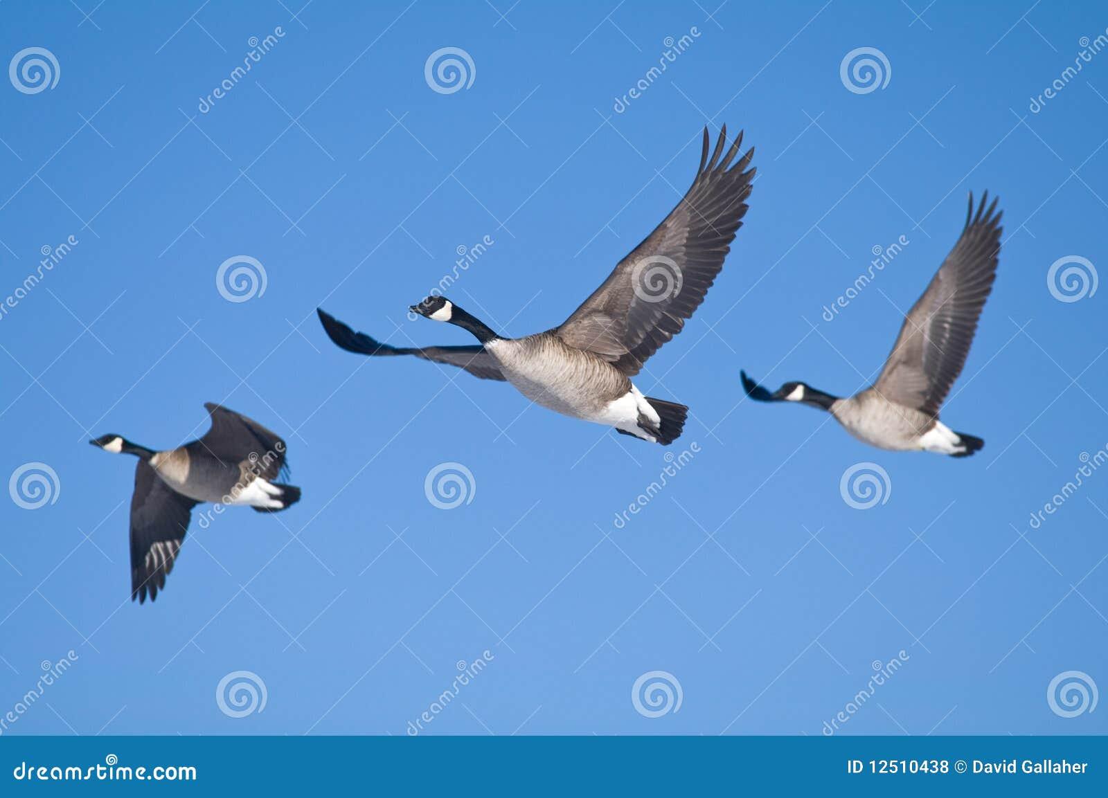 Tres gansos
