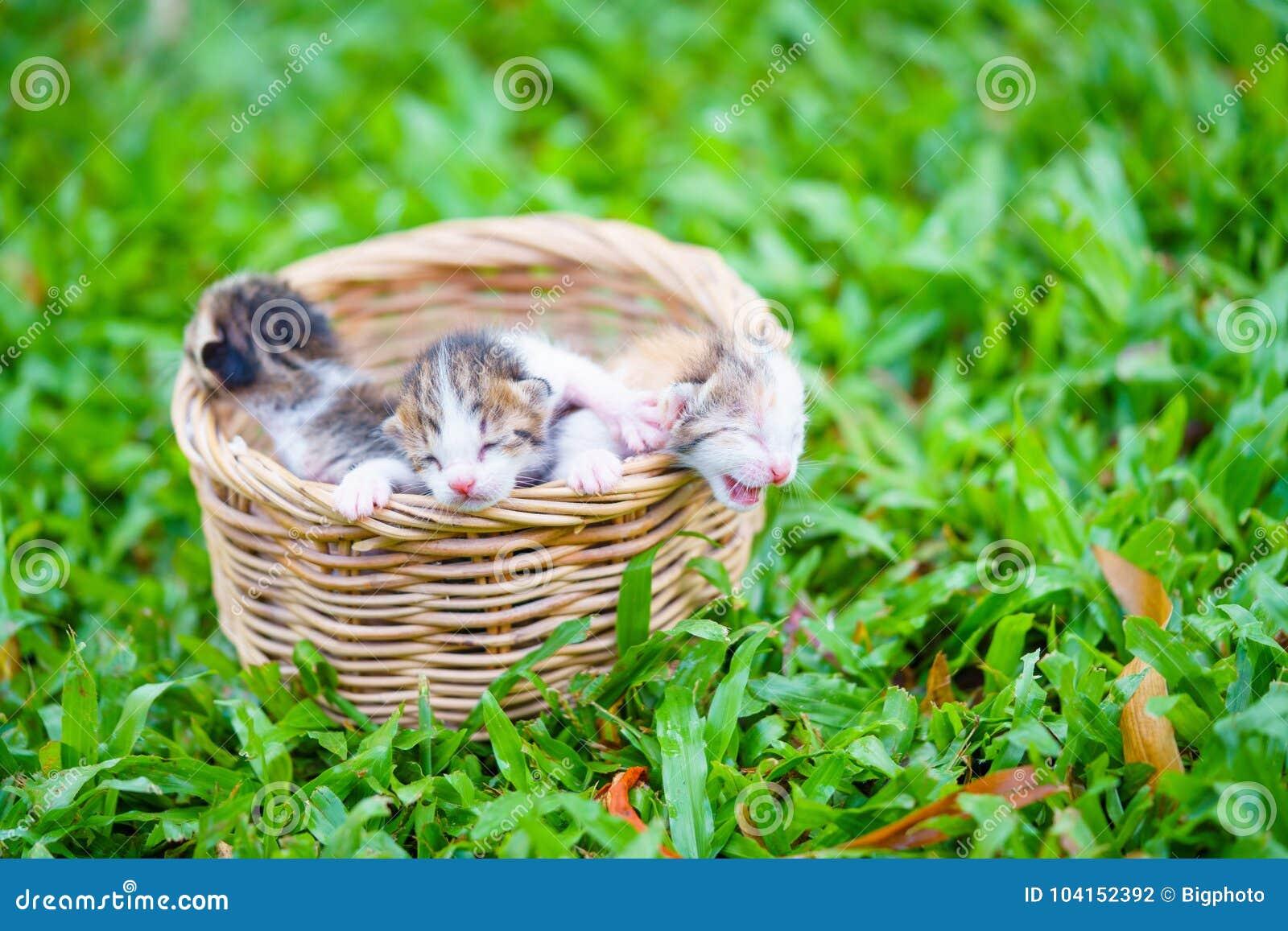 Tres gatitos recién nacidos que se sientan en cesta de mimbre en hierba verde