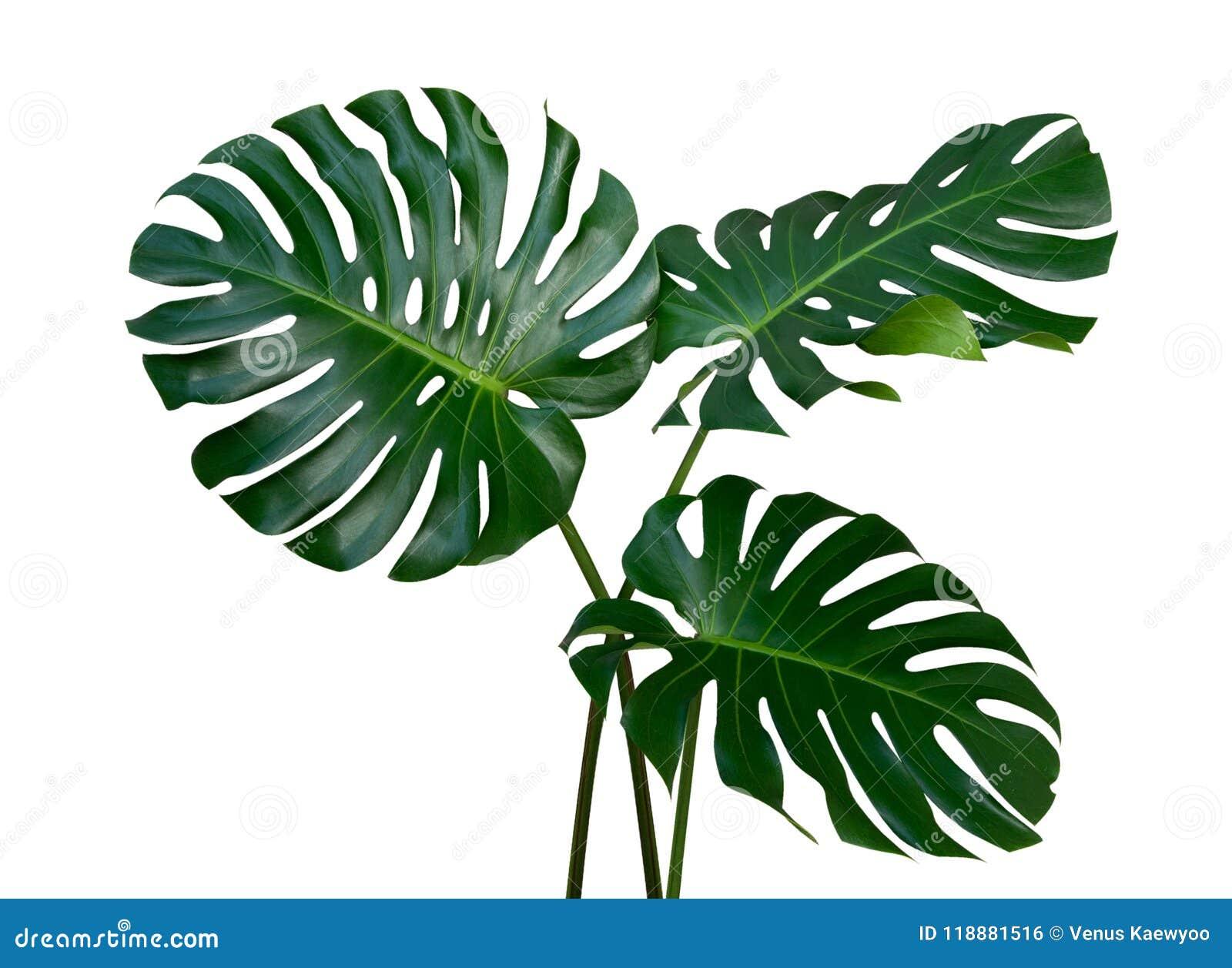 Tres hojas de la planta de Monstera, la vid imperecedera tropical aislada en el fondo blanco, trayectoria