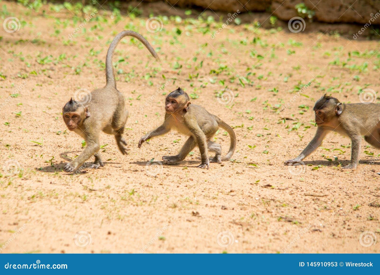 Tres monos de macaque del bebé que juegan y que se persiguen en un remiendo del suelo