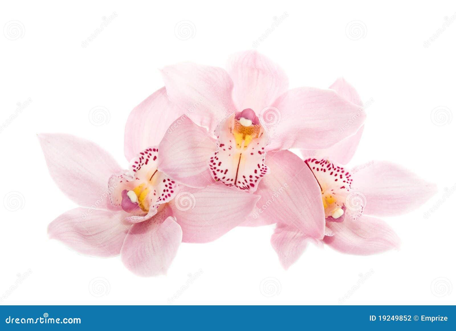 Tres orquídeas atractivas aisladas en el fondo blanco