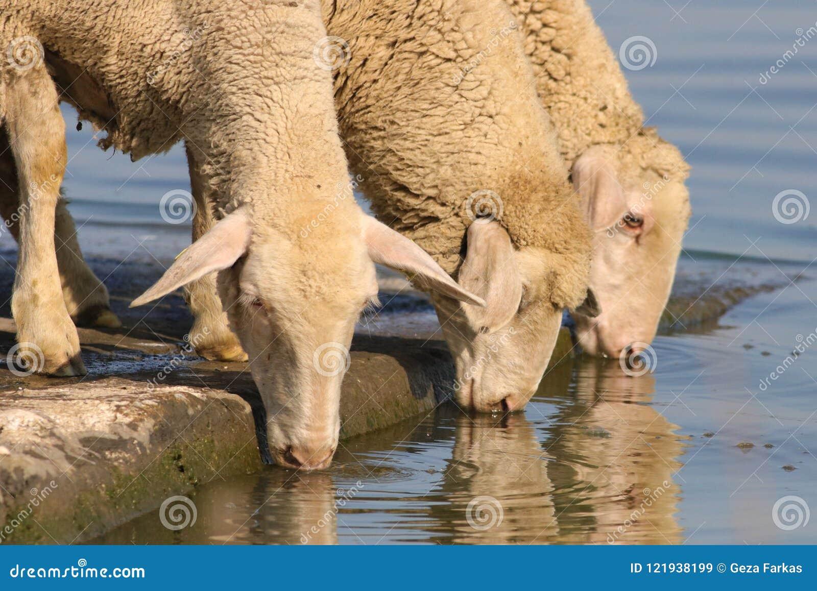 Tres ovejas sedientas en el lugar de riego