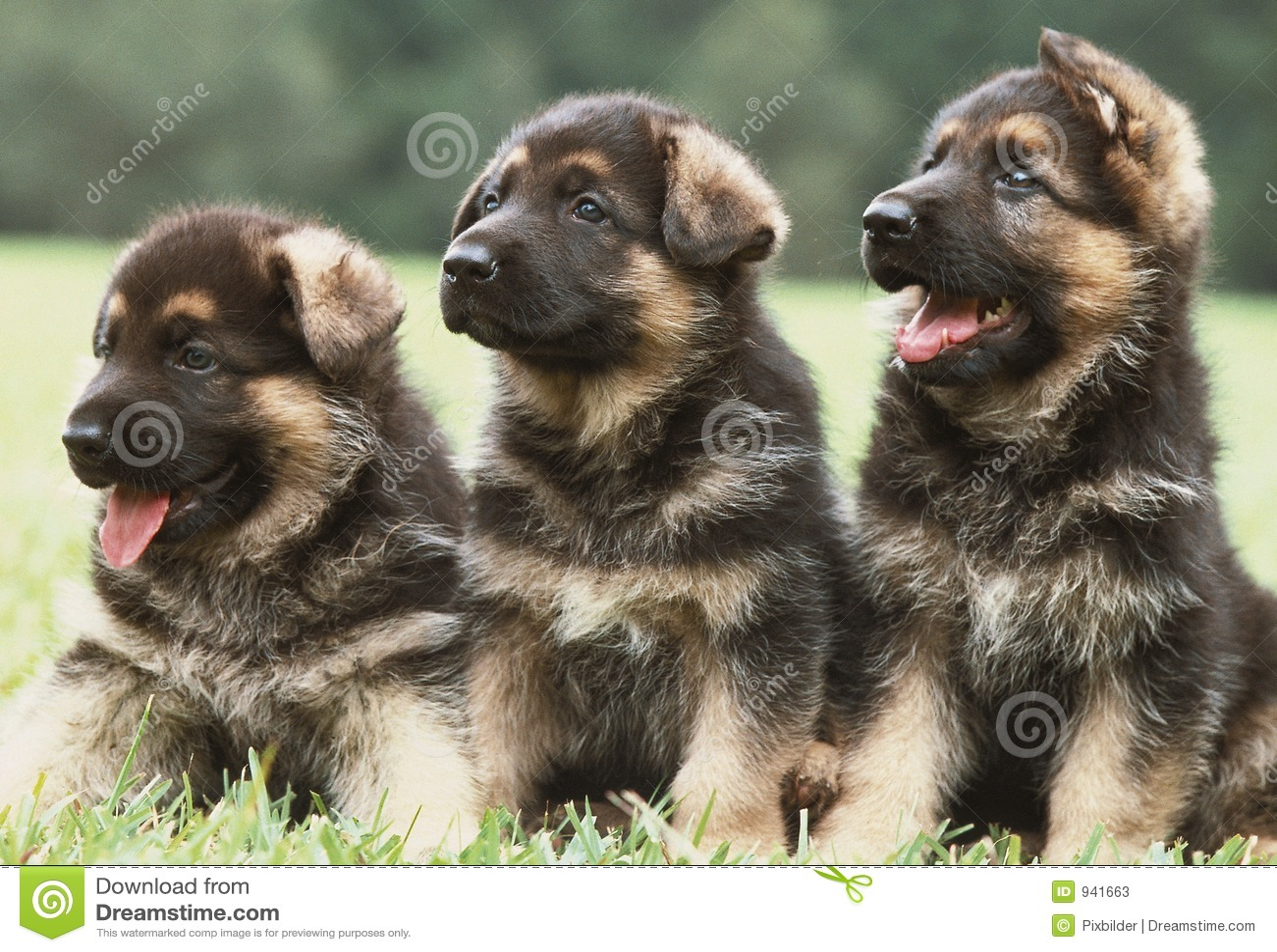 Tres perritos del pastor alemán
