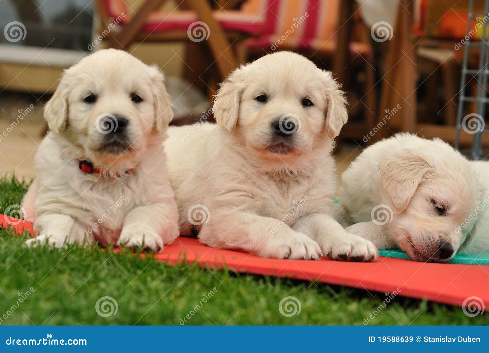 Tres perritos del perro perdiguero de oro del restin en for Ahuyentar perros del jardin