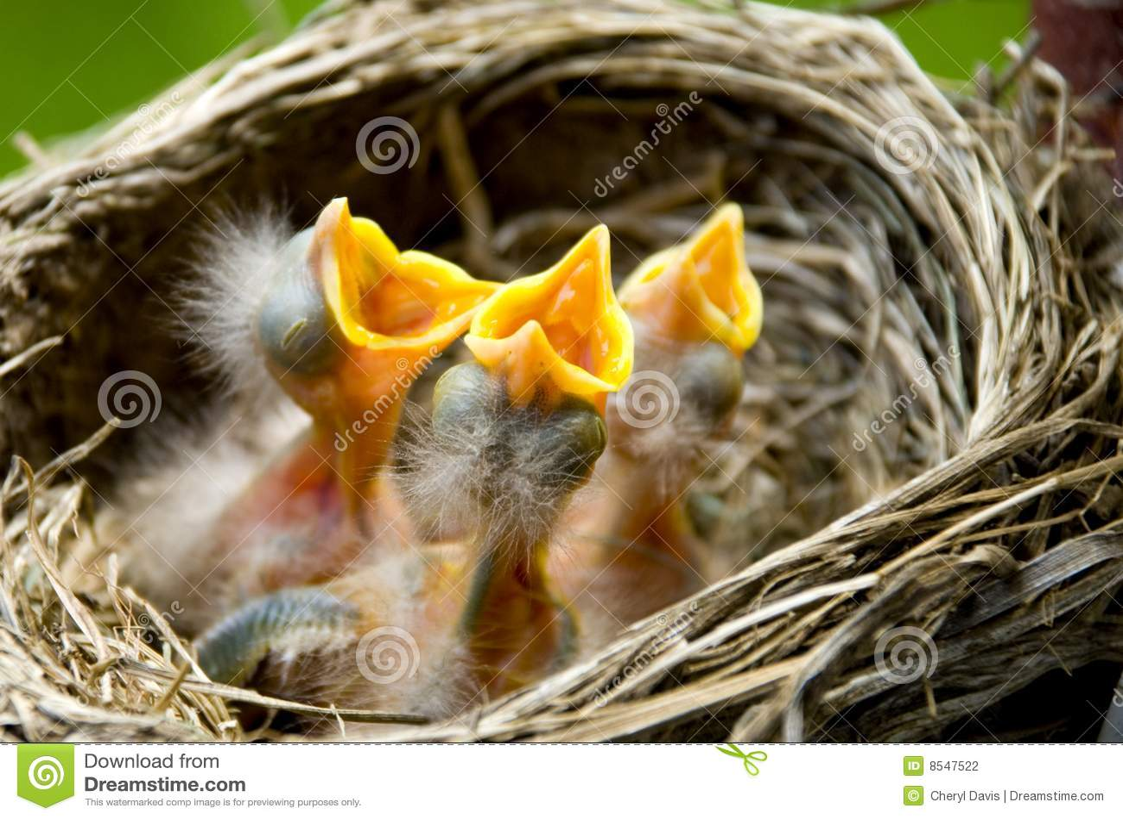 Tres petirrojos del bebé en una jerarquía