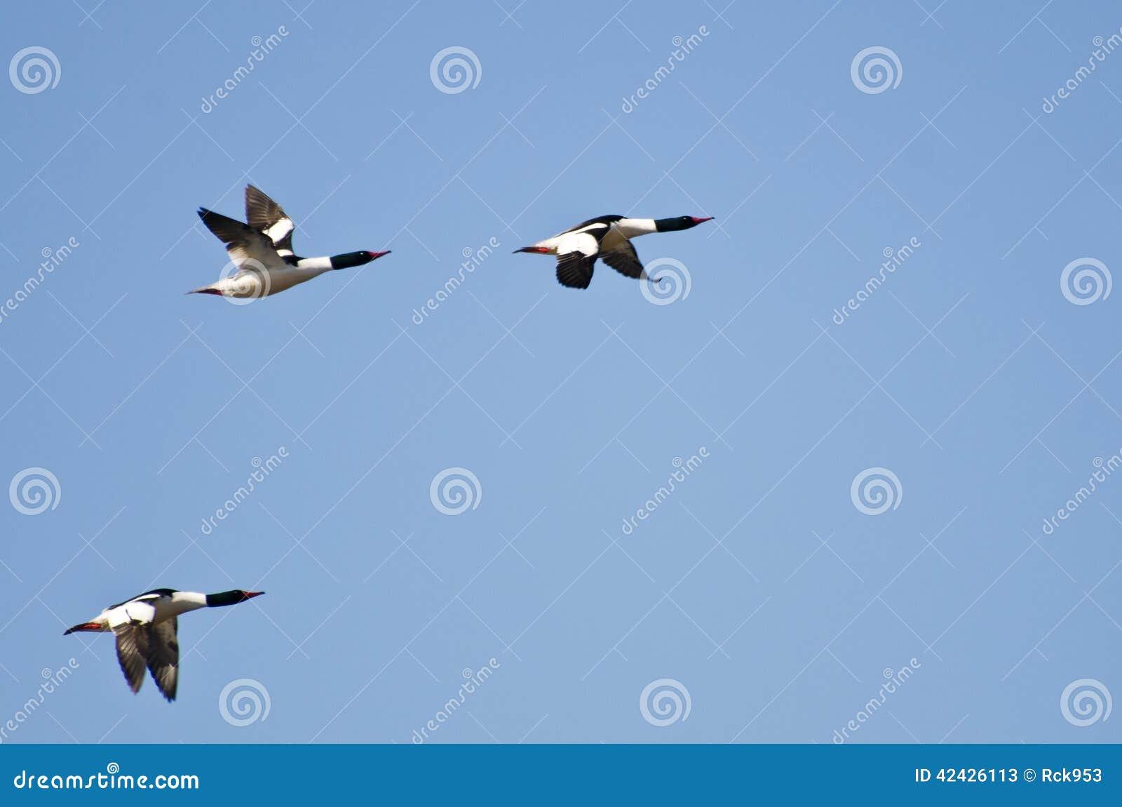 Tres pollos de agua comunes que vuelan en cielo azul