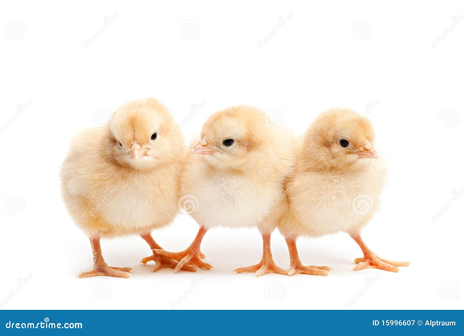 Tres polluelos lindos aislados en blanco