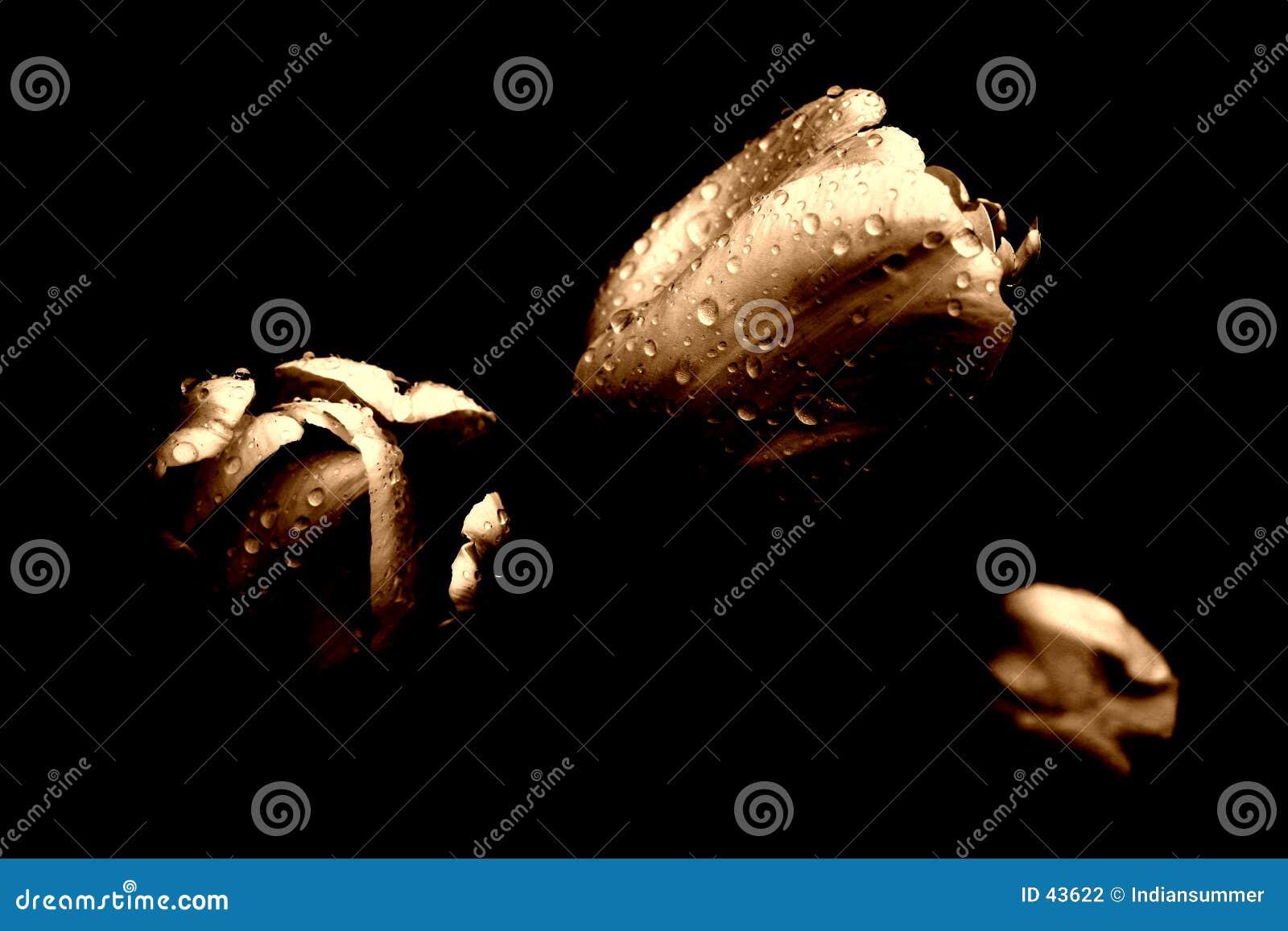 Download Tres Tulipanes En La Lluvia Foto de archivo - Imagen de textura, raindrops: 43622