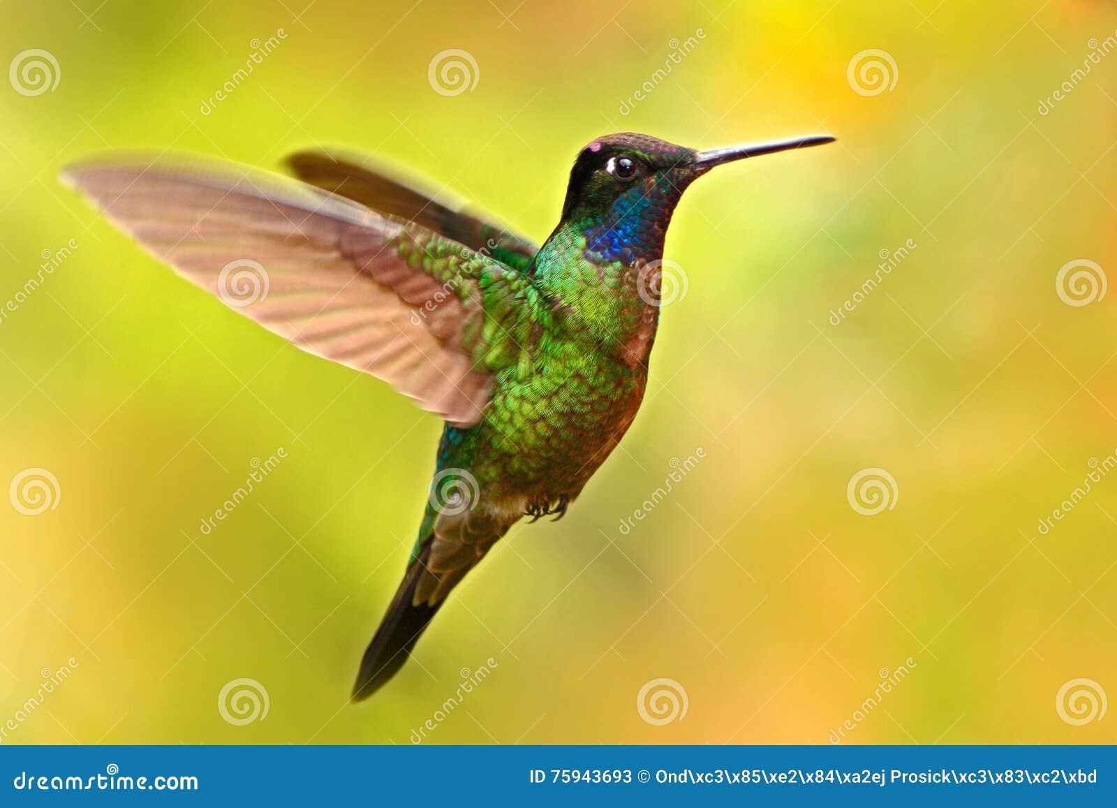 Trevlig kolibri, storartad kolibri, Eugenes fulgens som flyger bredvid den härliga gula blomman med blommor i bakgrunden,