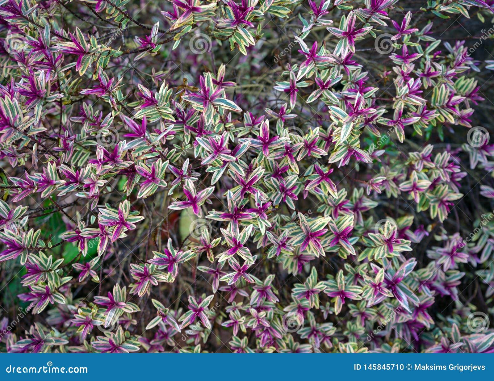 Trevo roxo do hybride sempre-verde do hebe com folhas coloridas