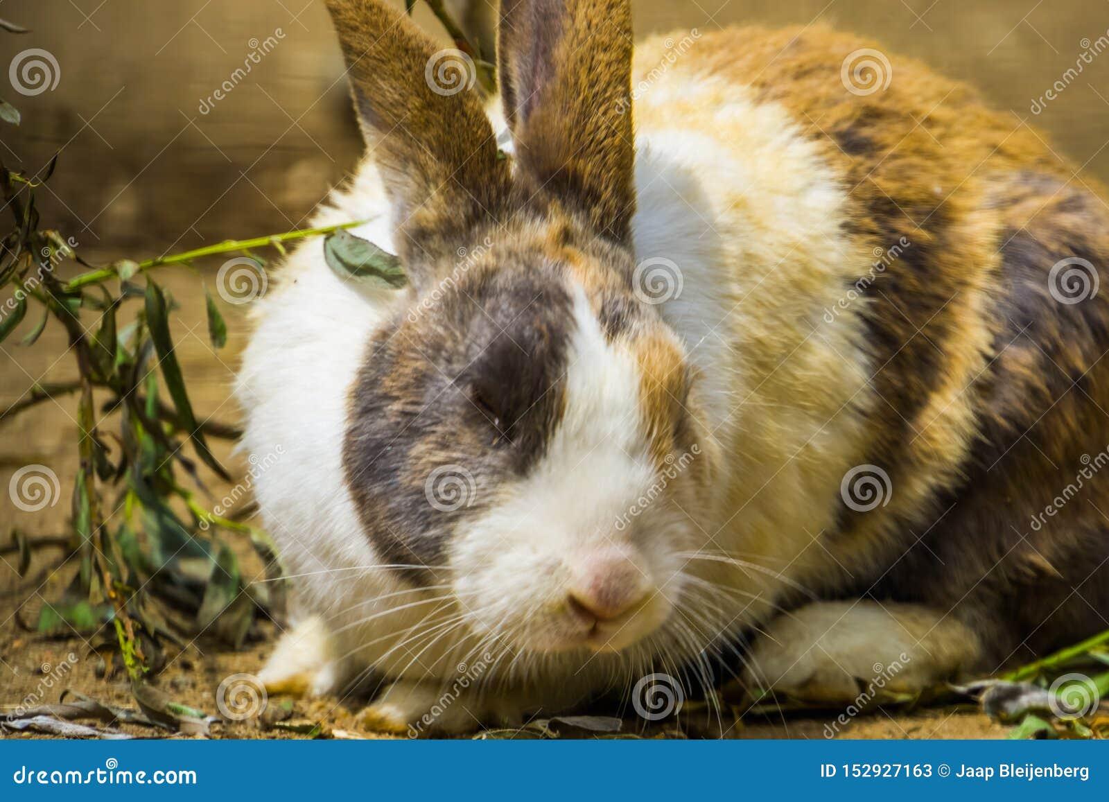 Tri coelho holandês colorido com sua cara no close up, raça popular do coelho dos Países Baixos