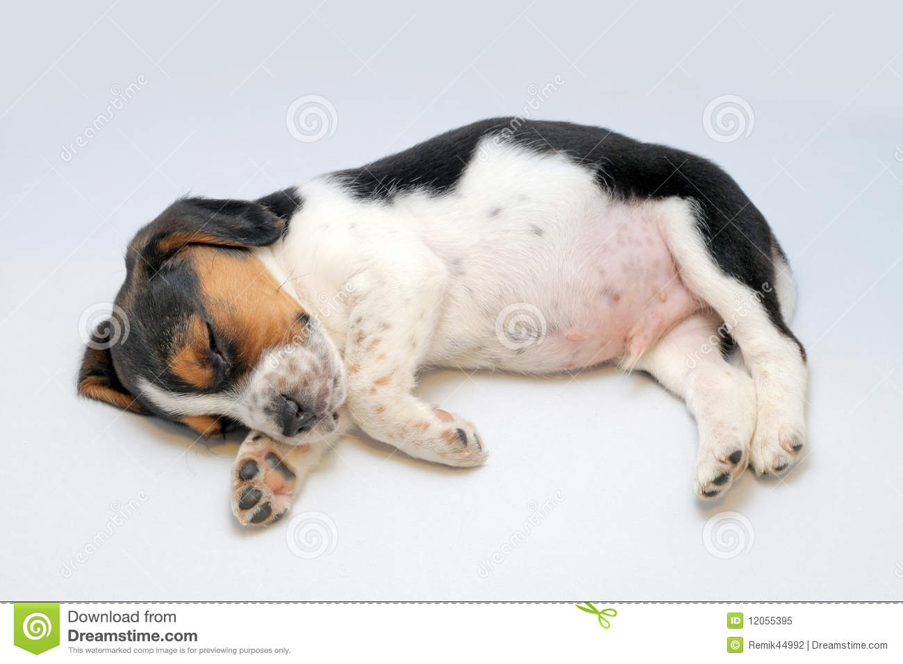 tricolor beagle puppy sleeping royalty free stock photo