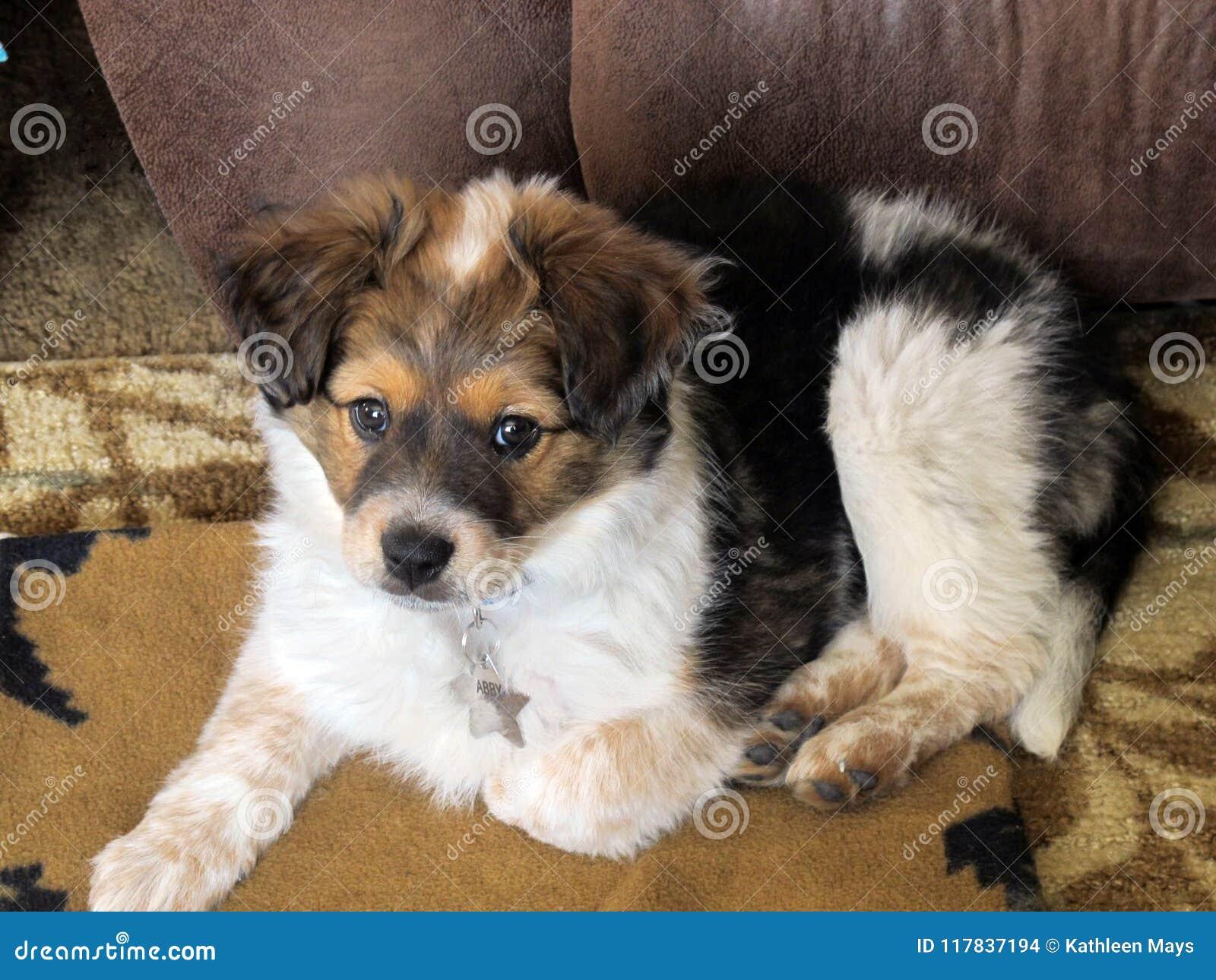 Tri Color Mini Aussie Puppy Portrait Stock Photo Image Of Animals Mammal 117837194