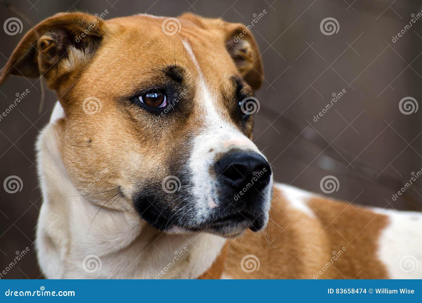 Beagle Mixed Breed Hound Dog Stock Photo | CartoonDealer ...